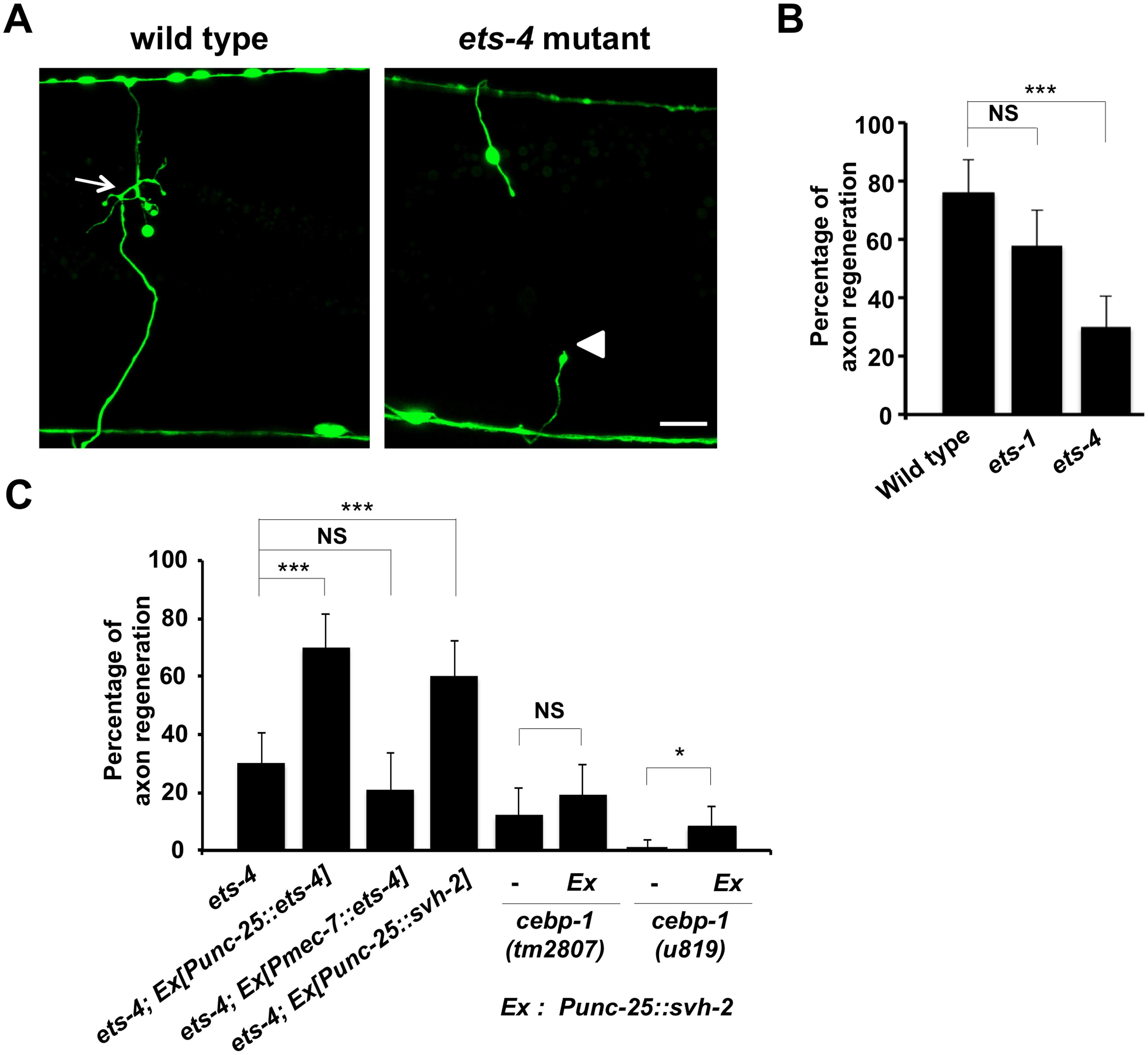 ETS-4 is required for efficient axon regeneration in <i>C</i>. <i>elegans</i>.