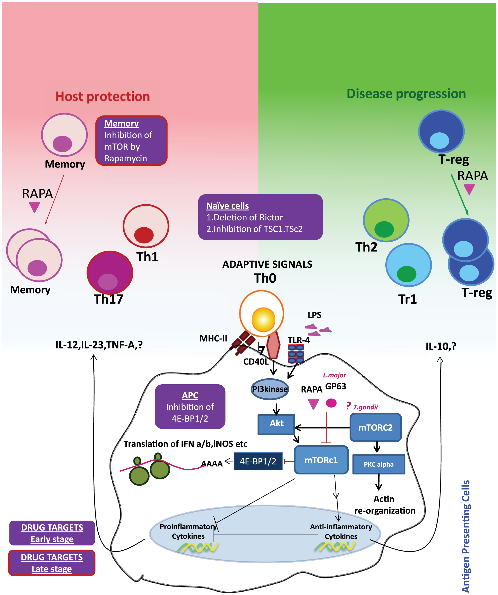 Reciprocal consequences of mTOR activation in APCs and T cells may be host protective or disease promotive.