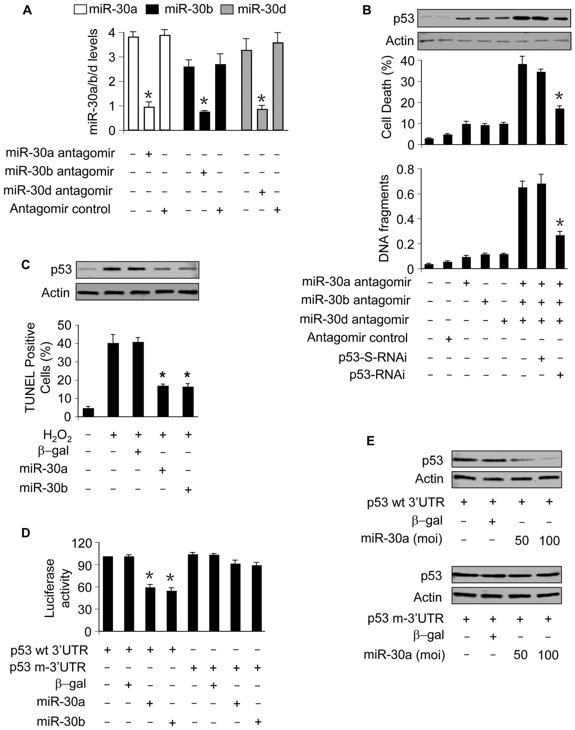 miR-30a, miR-30b, and miR-30d participate in the regulation of p53 expression.