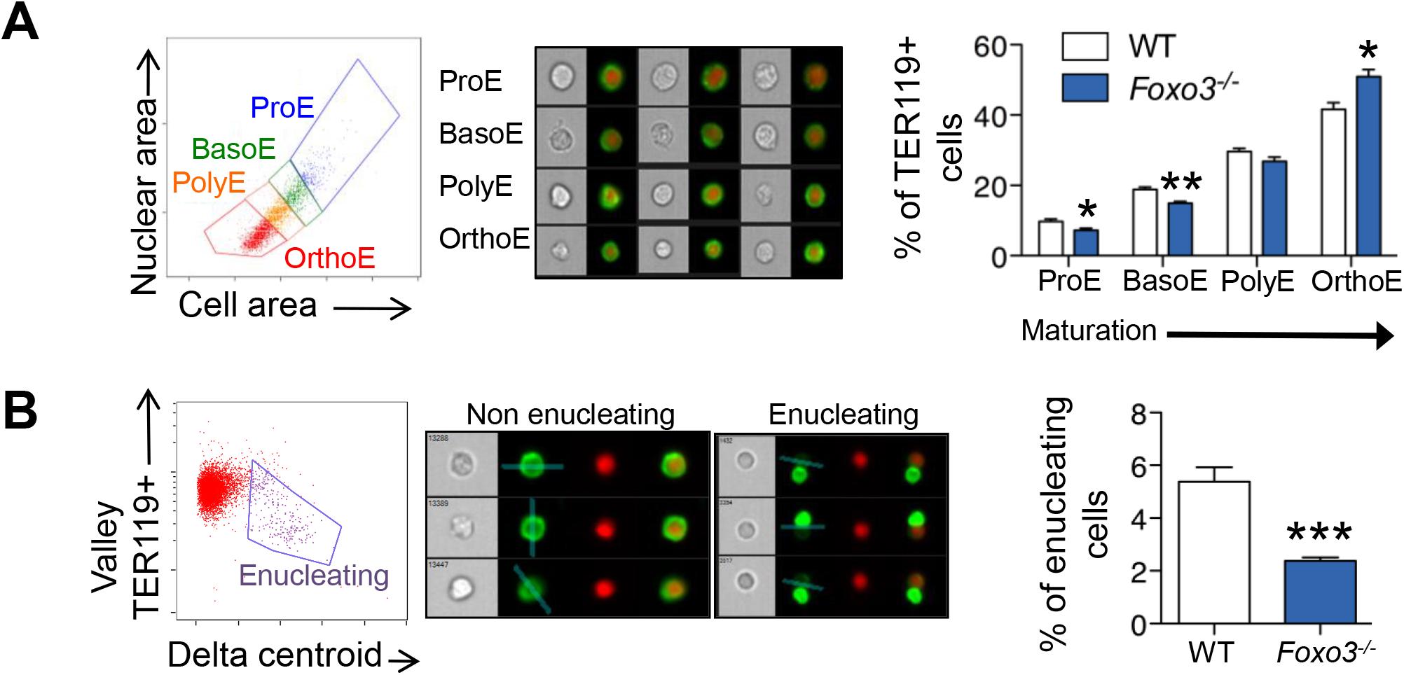 Defective <i>Foxo3</i><sup><i>-/-</i></sup> terminal erythroblast maturation.