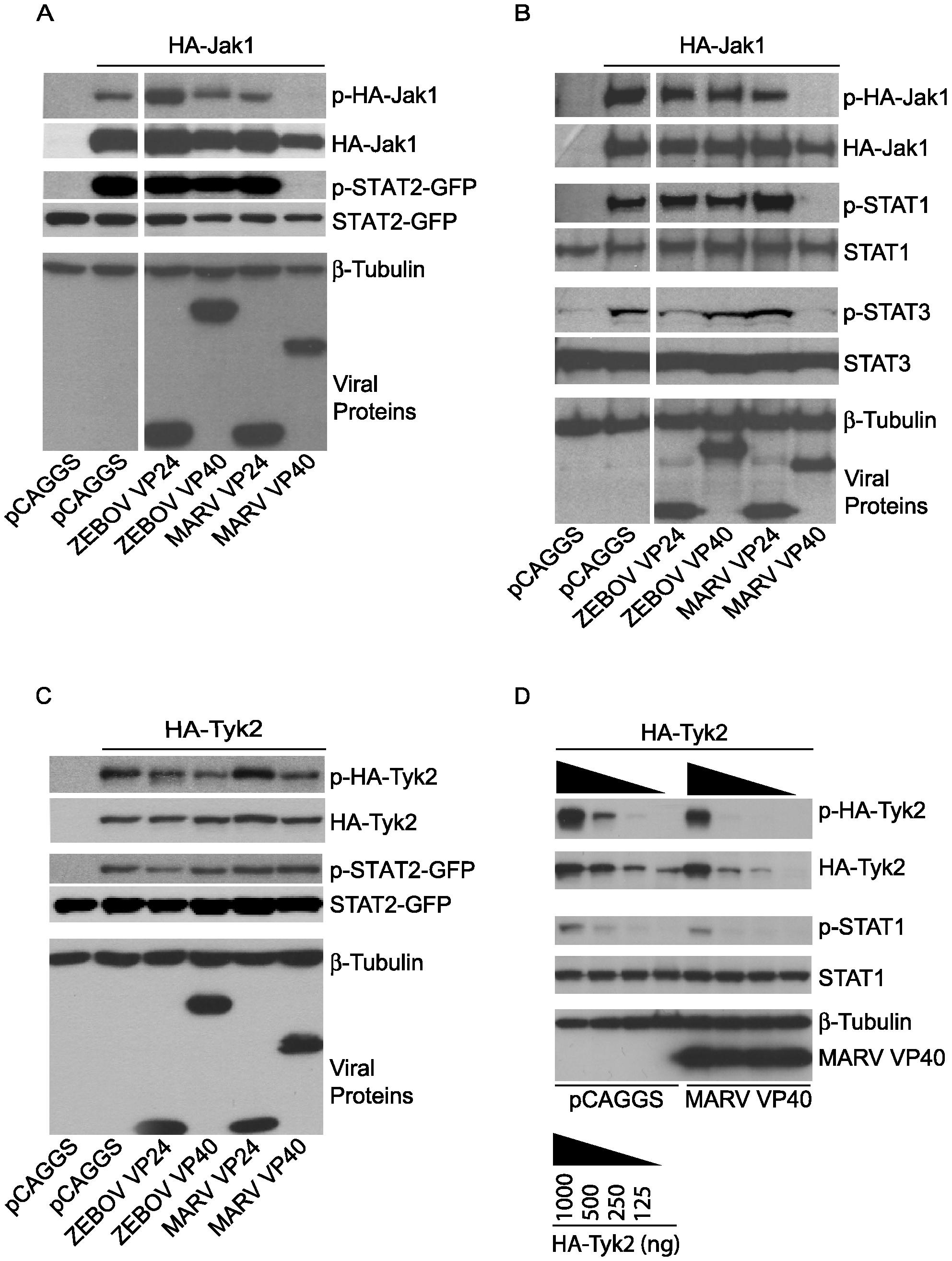 Jak1 phosphorylation is inhibited by MARV VP40.