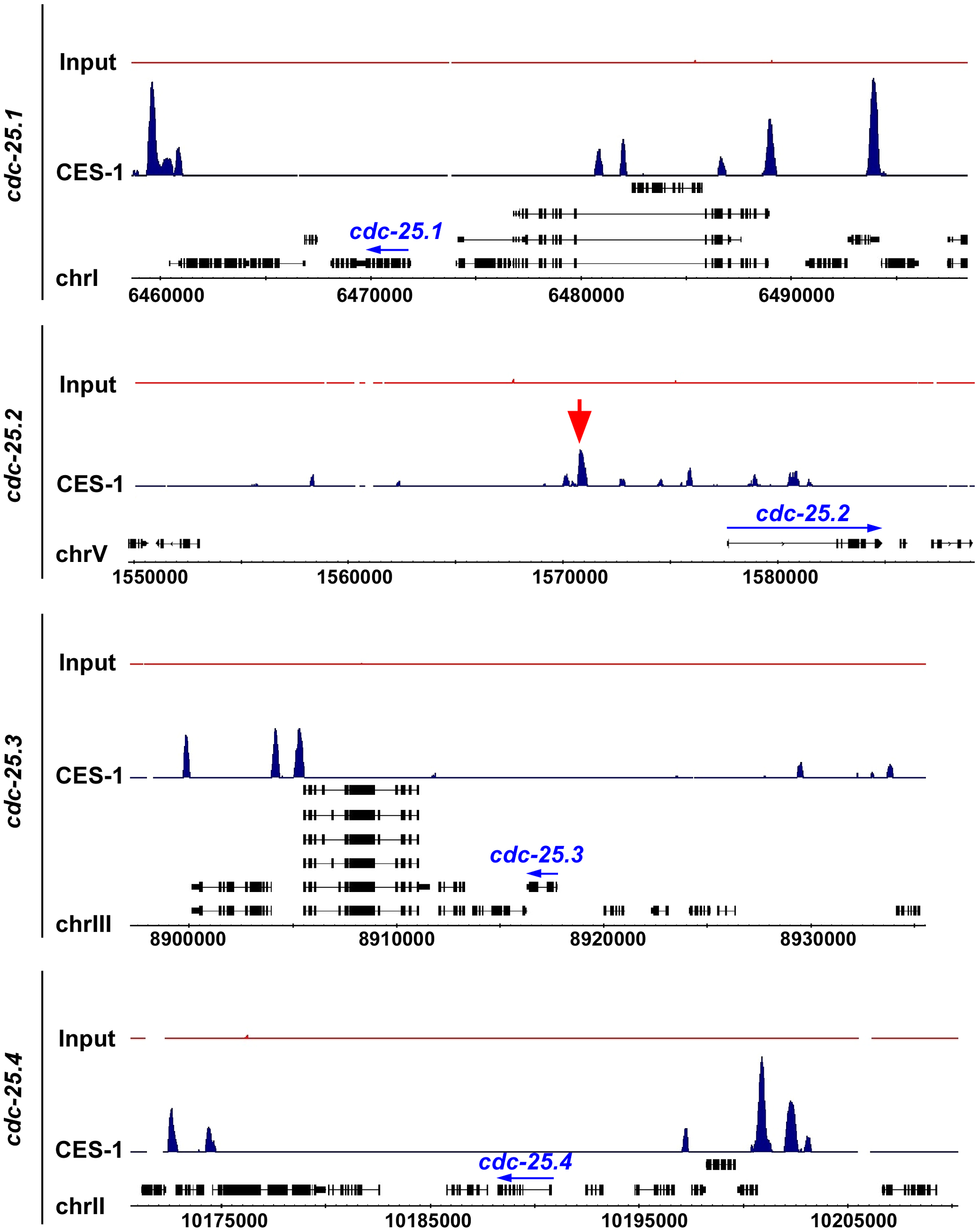 CES-1 binds to an upstream region of the <i>cdc-25.2</i> locus.