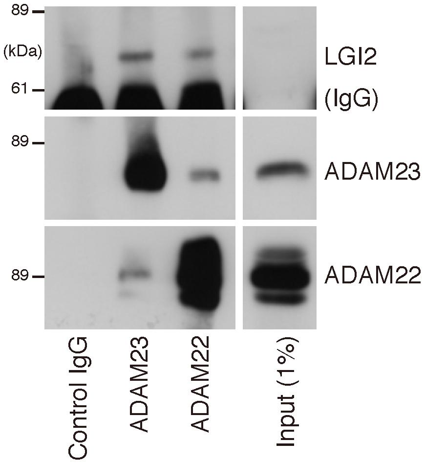 LGI2 interacts with ADAM22 and ADAM23 in rat brain.