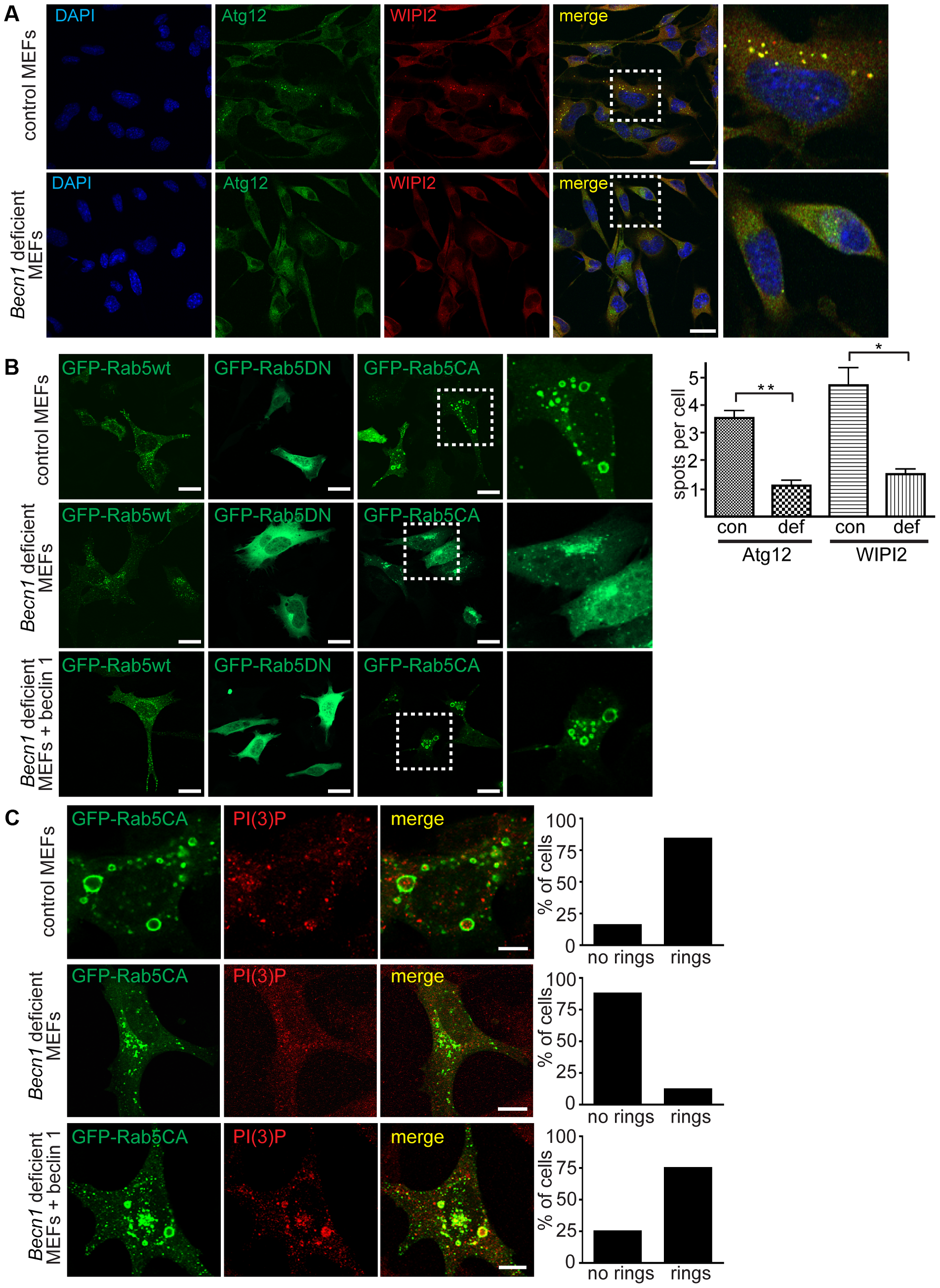Autophagosome formation and endosomal expansion caused by constitutively active Rab5 and endocytosis are disrupted in <i>Becn1</i> deficient MEFs.