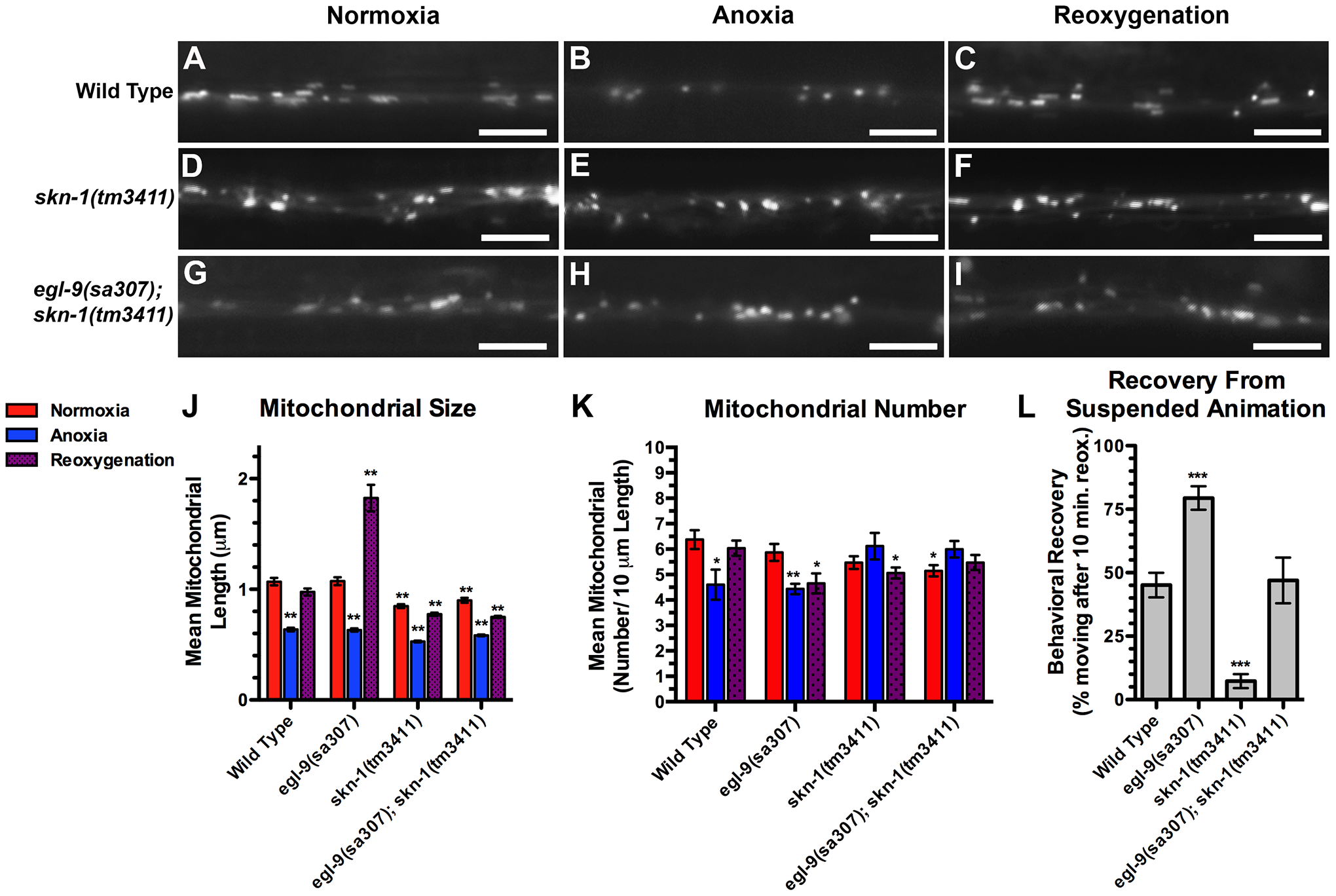 SKN-1 is required for anoxia-induced mitochondrial hyperfusion.