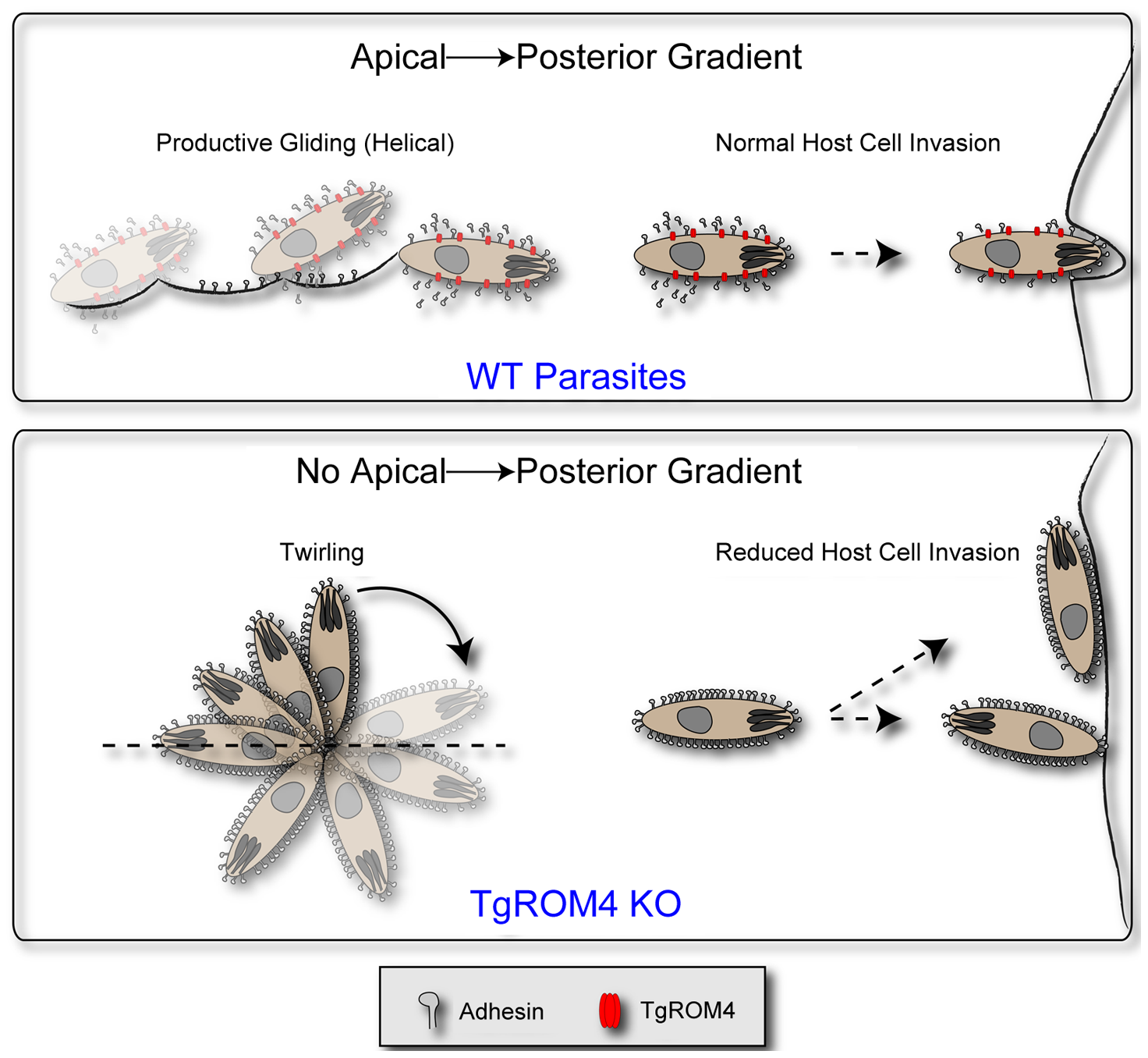 Model for the role of TgROM4 in parasite invasion.