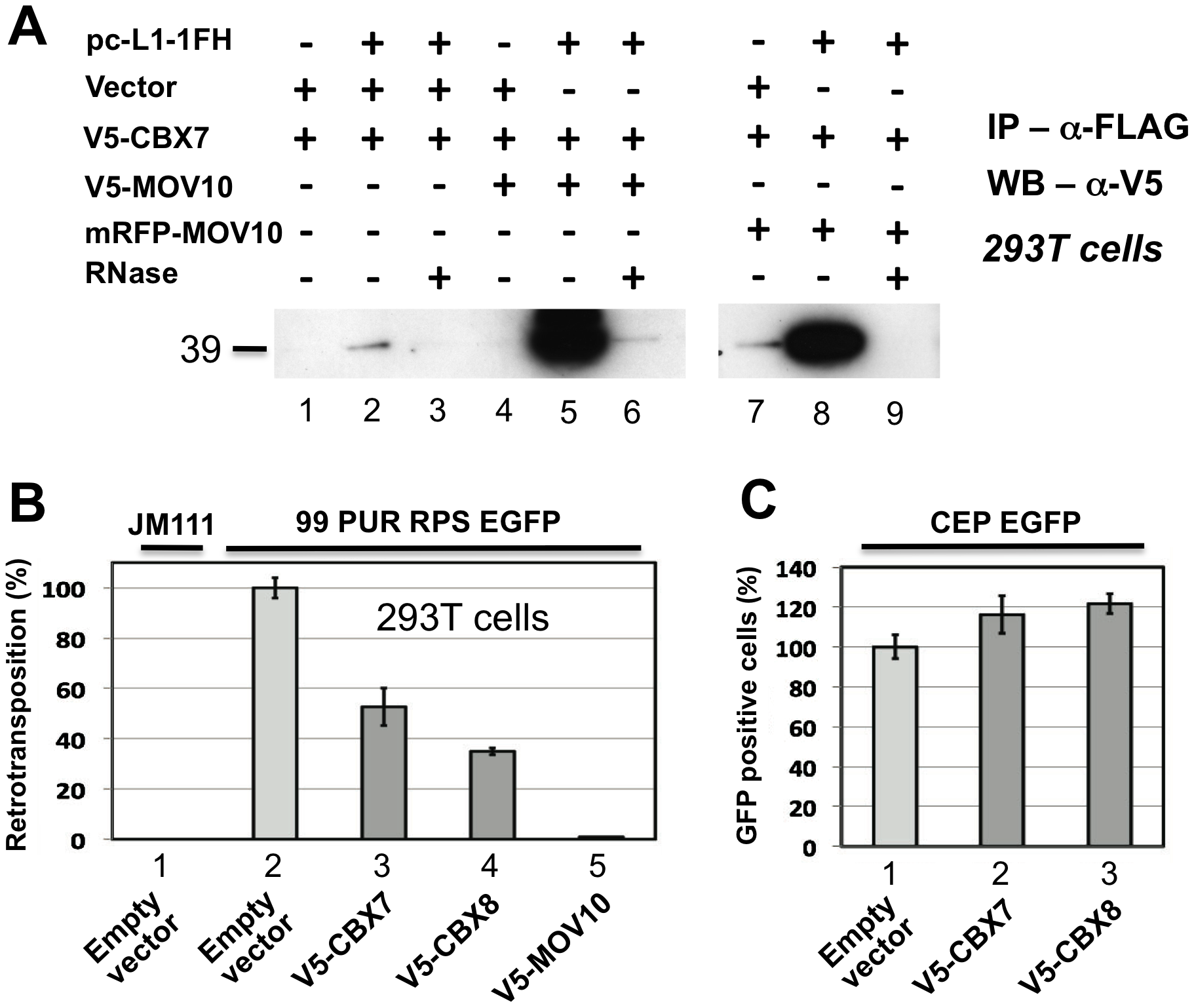 Polycomb group (PcG) multiprotein PRC1-like complex component Chromobox homolog 7 (CBX7) associates with the L1-RNP and inhibits retrotransposition.