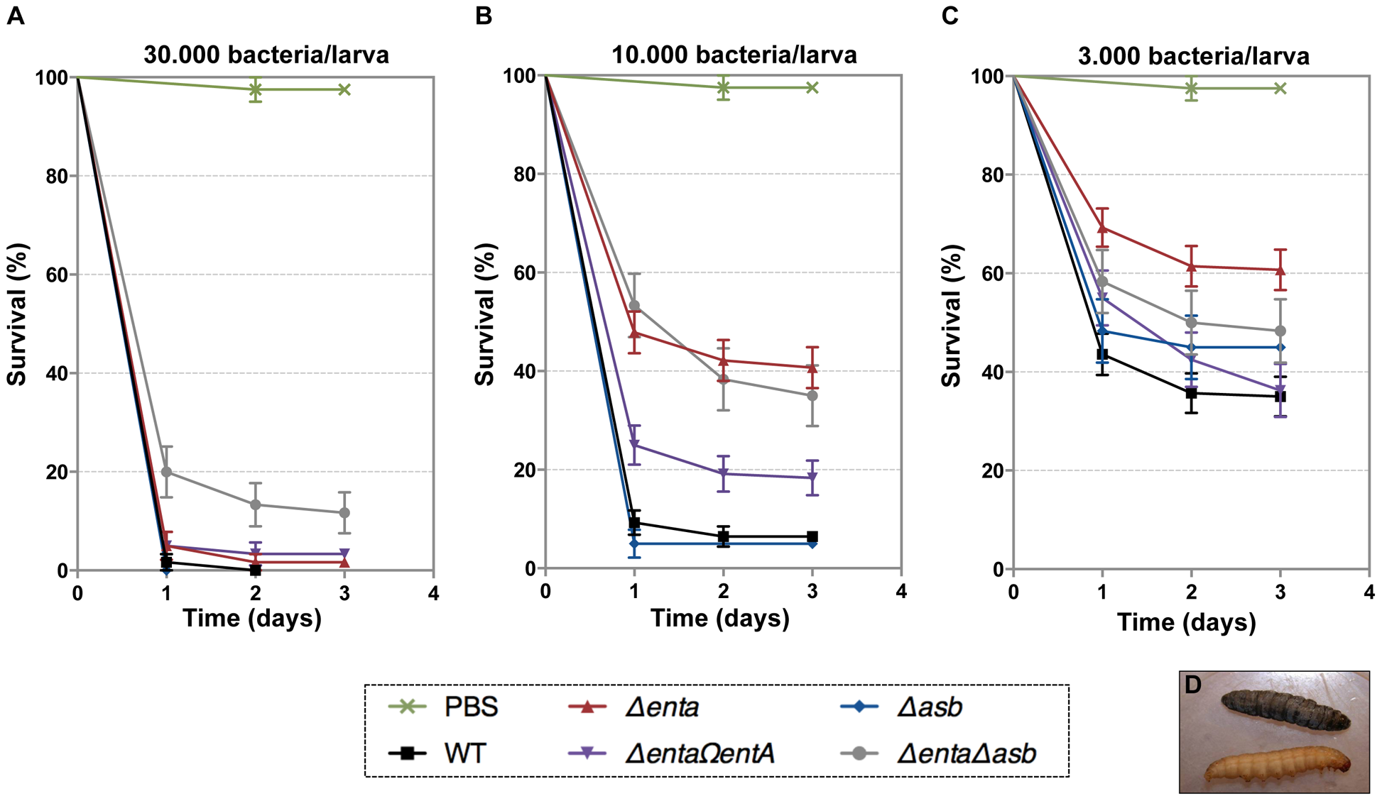 Effects of siderophore deficiency on <i>B. cereus</i> virulence in <i>G. mellonella</i> are dose- and time-dependent.