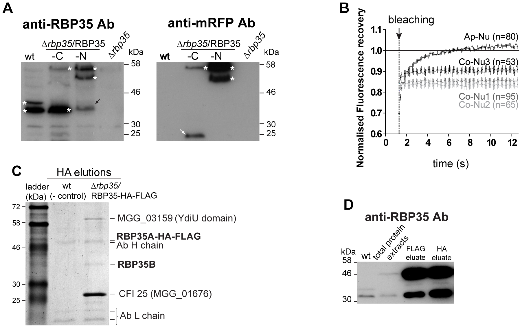 Both RBP35 isoforms showed different diffusional properties and interact with CFI25.