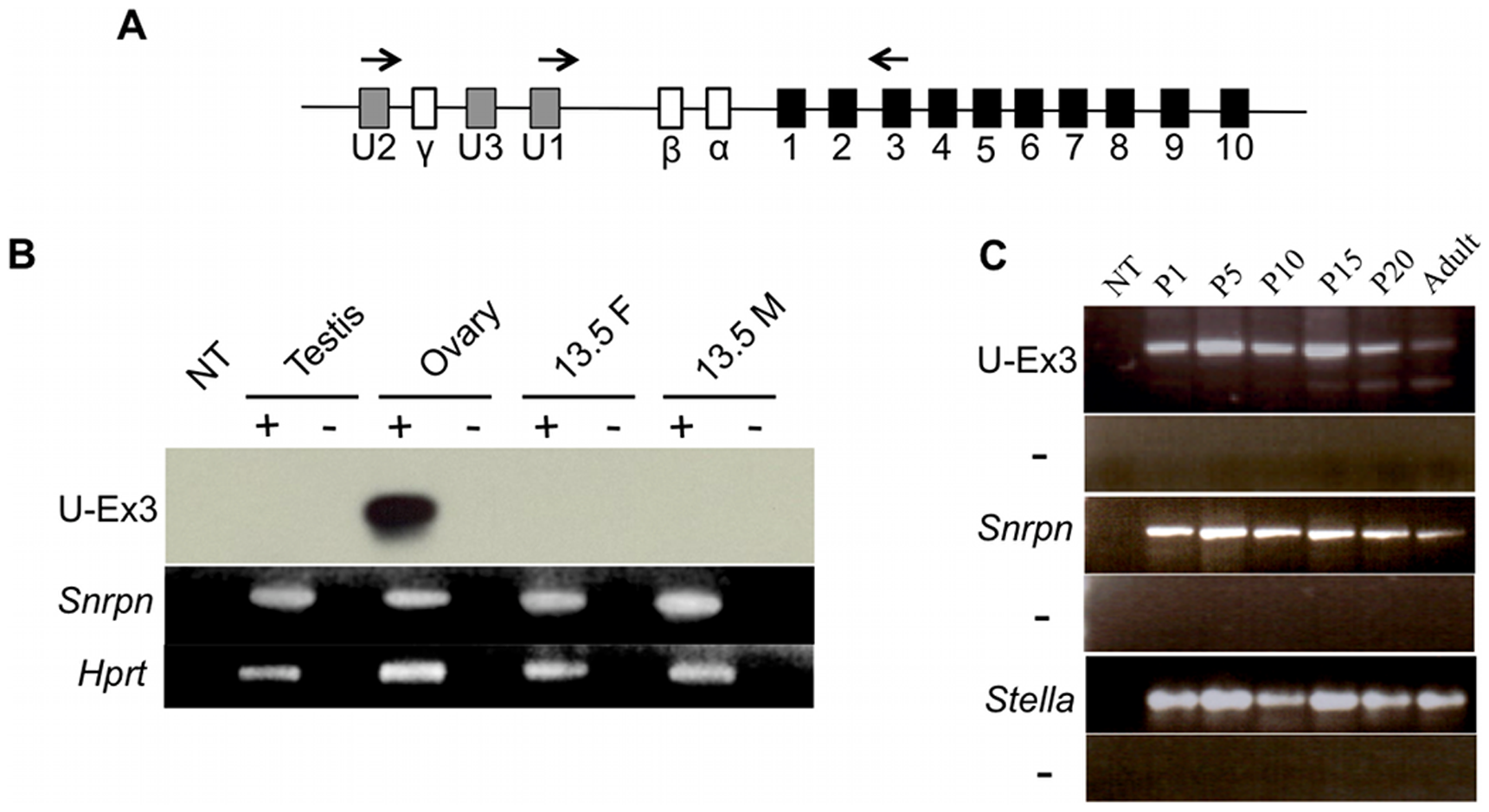 U exon expression in the developing germ line.