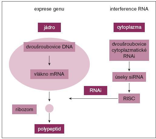 Schéma. Exprese genu spočívá v separaci vláken jaderné dvojité šroubovice DNA a její transkripce (přepisu) na mRNA, která je po úpravě (vystřižení exonů) transportována z jádra do cytoplazmy. Na ribozomech pak probíhá translace, tj. překlad kodónů do sekvence aminokyselin peptidového řetězce.