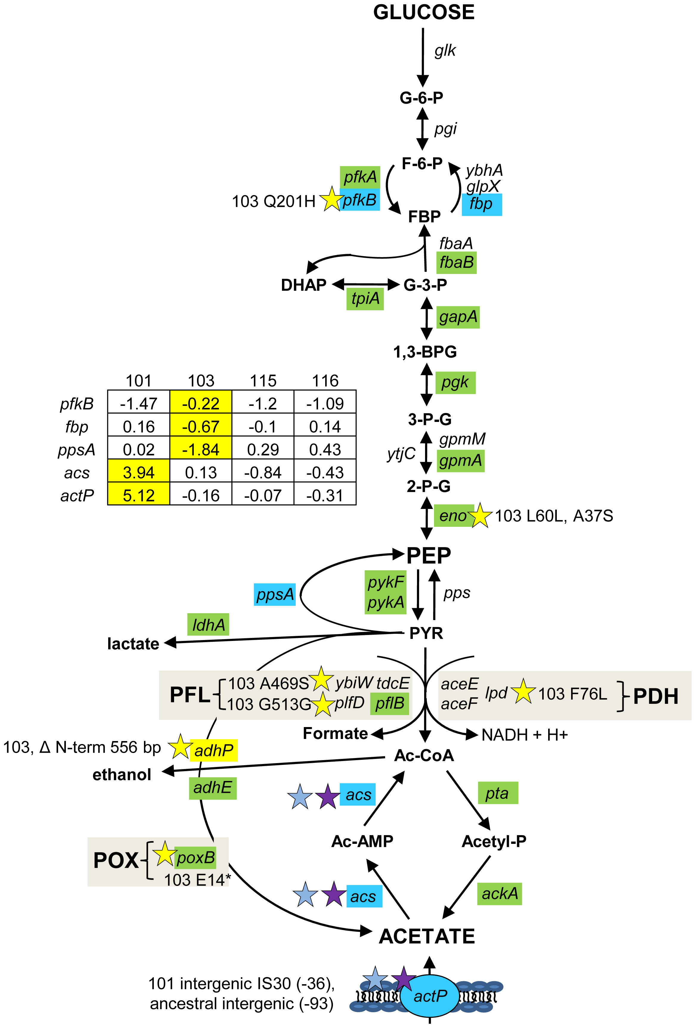 Gene expression and SNPs among loci that mediate glycolysis and fermentation.