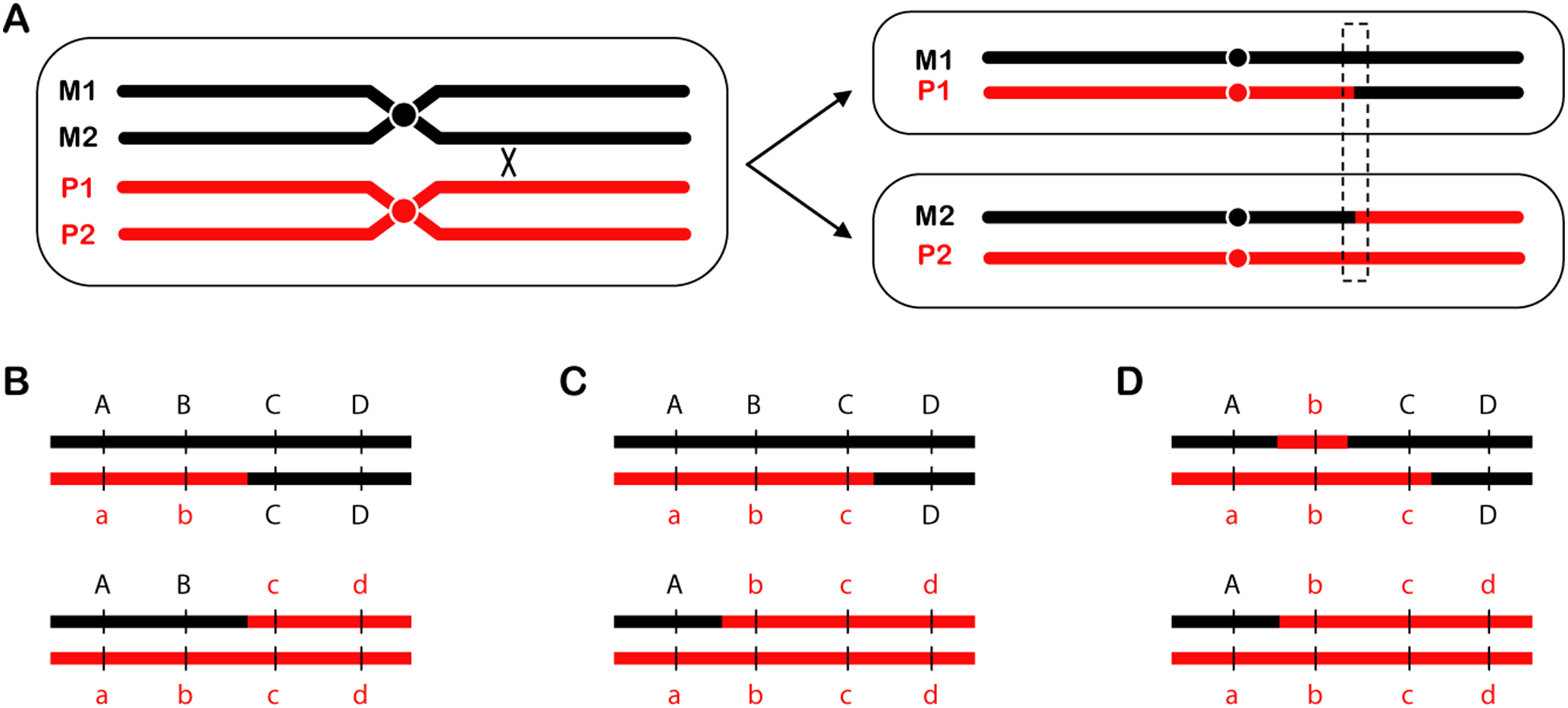 Reciprocal crossovers and gene conversion.