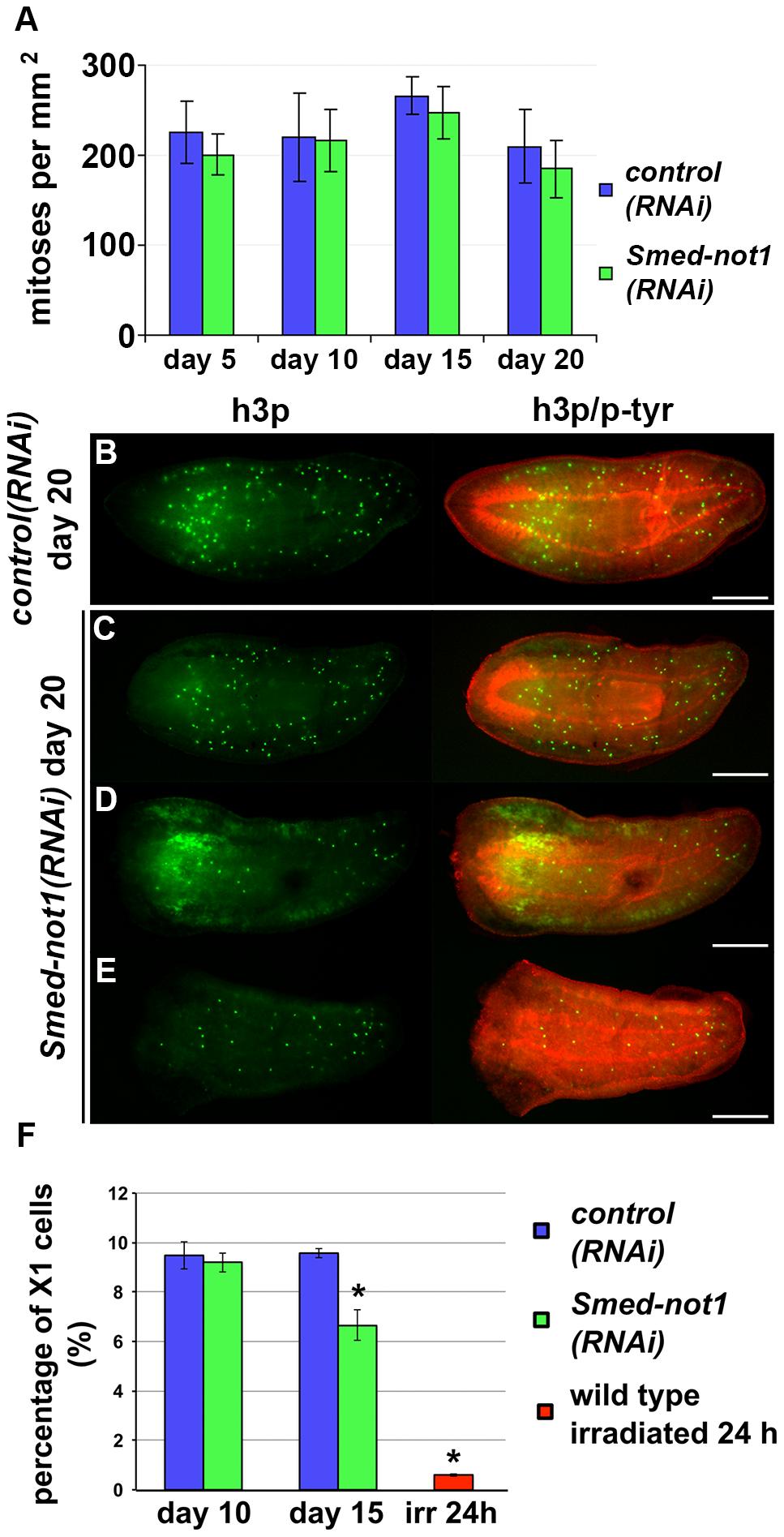 <i>Smed-not1(RNAi)</i> animals maintain mitotic neoblasts.