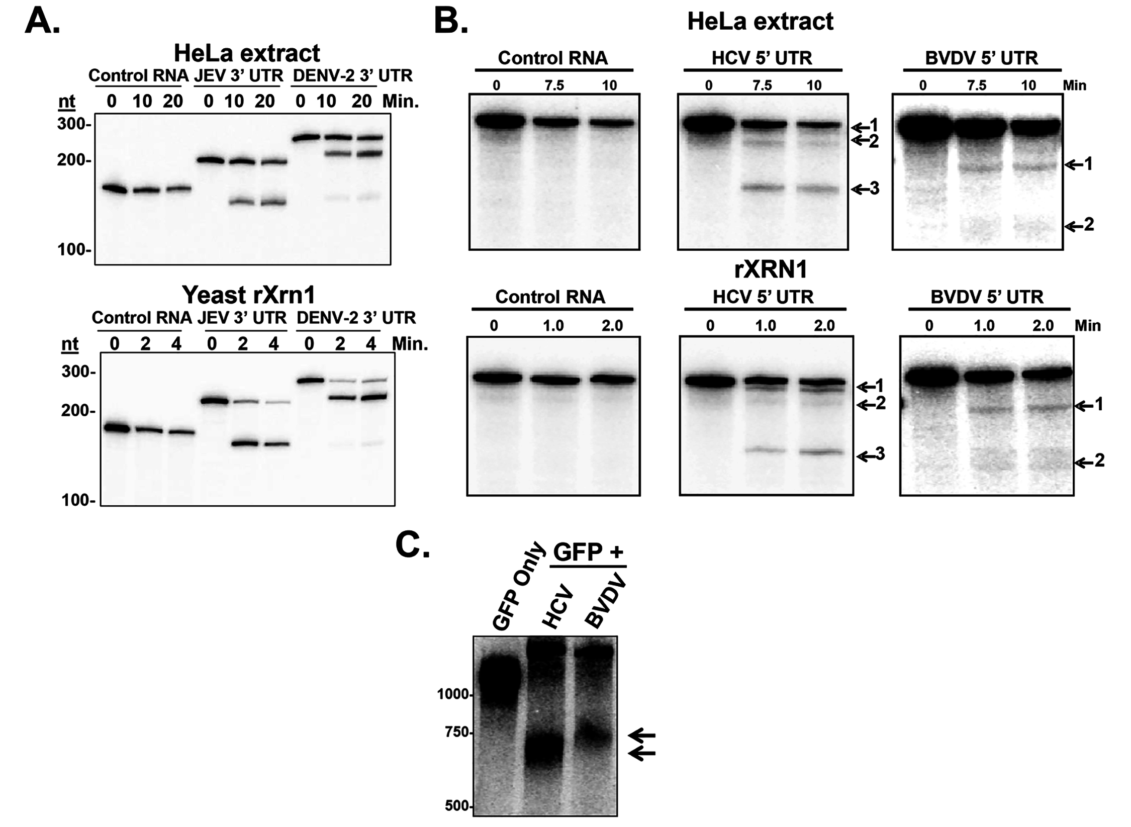 Stalling of XRN1 is a conserved function of flavivirus RNAs.