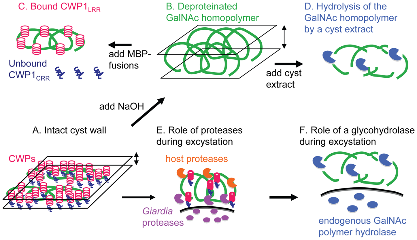 New models for the structure of the <i>Giardia</i> cyst wall and for the mechanism of its disruption during excystation based upon the data presented here.