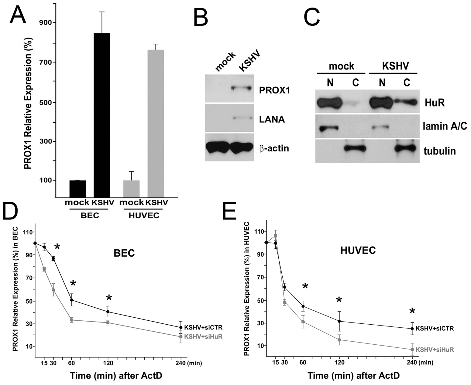 KSHV upregulates PROX1 by promoting its mRNA stability by HuR protein in primary BECs and HUVECs.