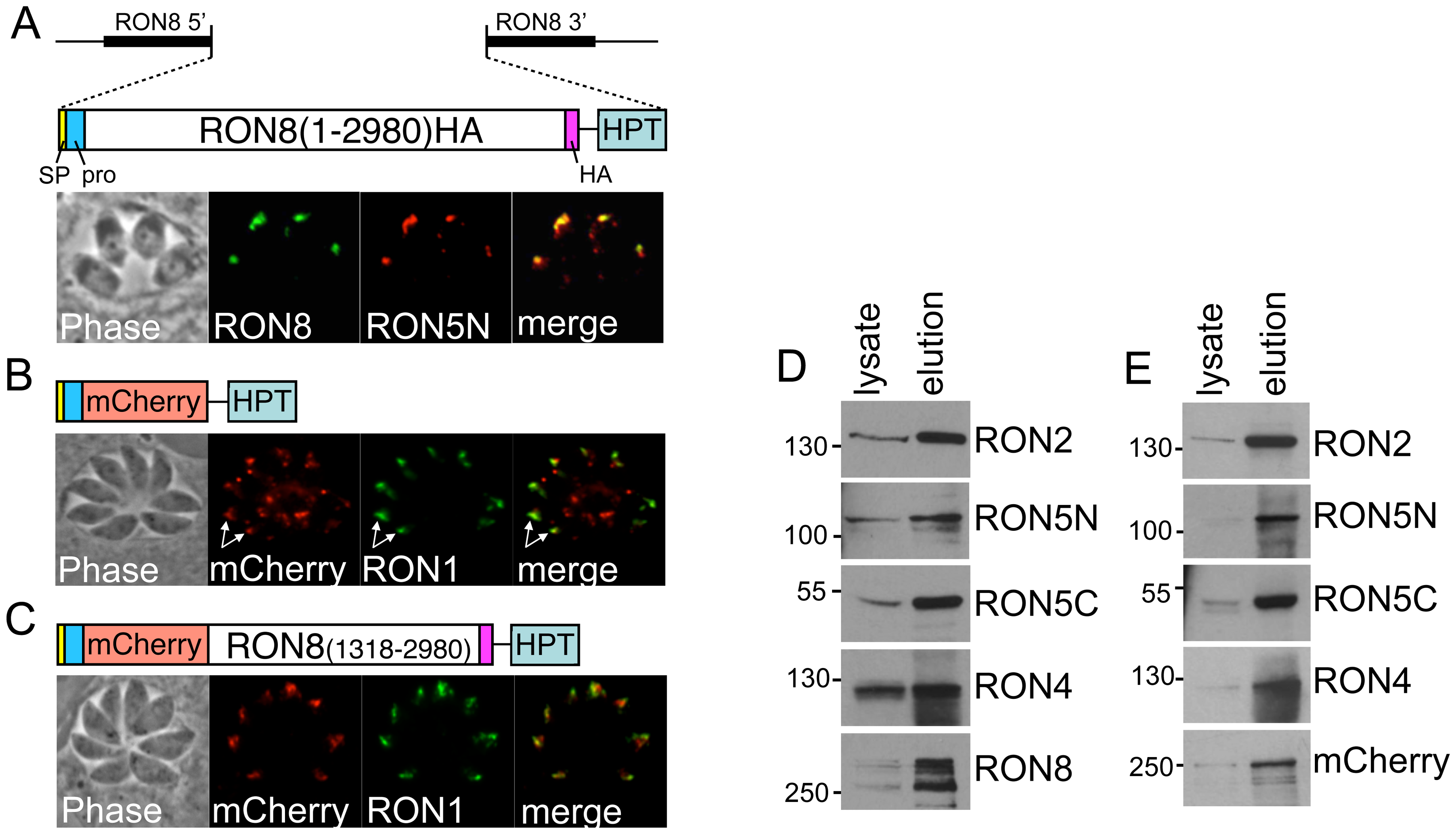 Selective complementation of <i>Δron8</i> parasites reveals regions of RON8 necessary for RON8 targeting, complex formation, and function.