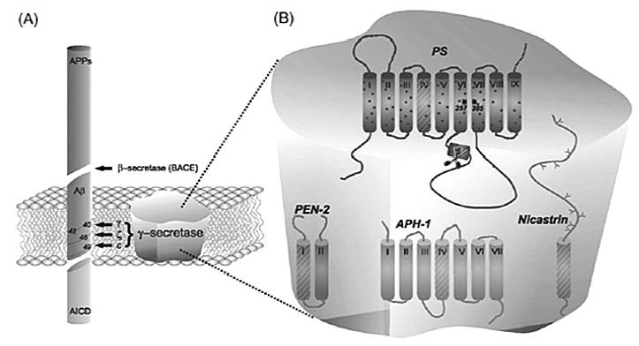 Proces štiepenia ß-APP (vľavo), γ-sekretázový komplex (vpravo)<sup>8)</sup>