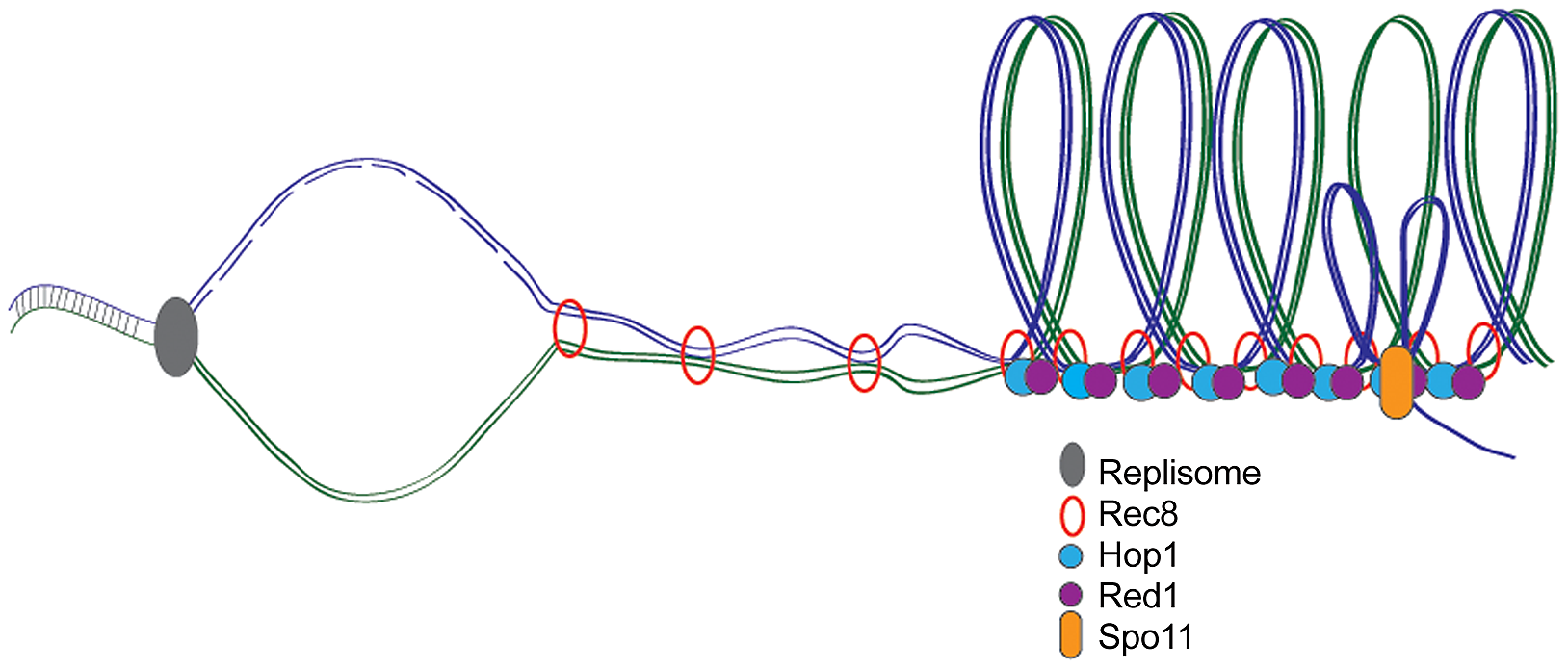 Meiotic DNA replication, chromosome axes, and DSB formation.
