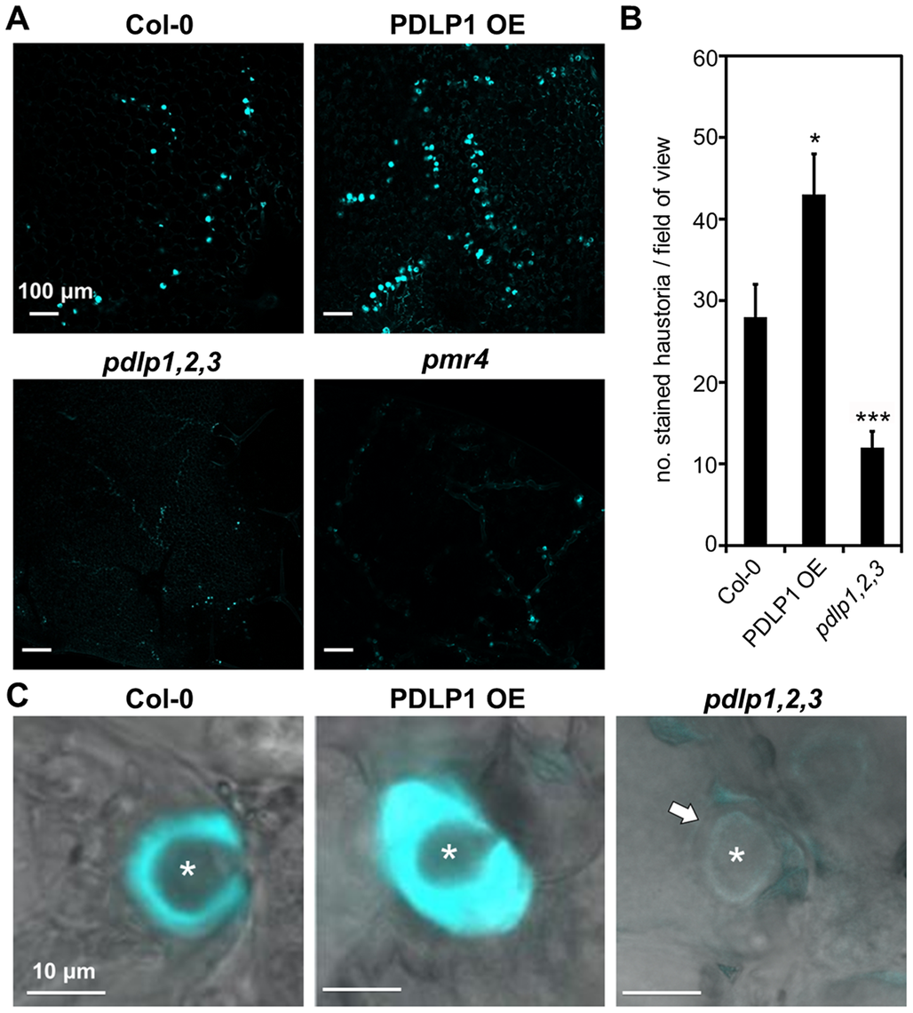 PDLP1 is required for callose deposition in haustorial encasement.