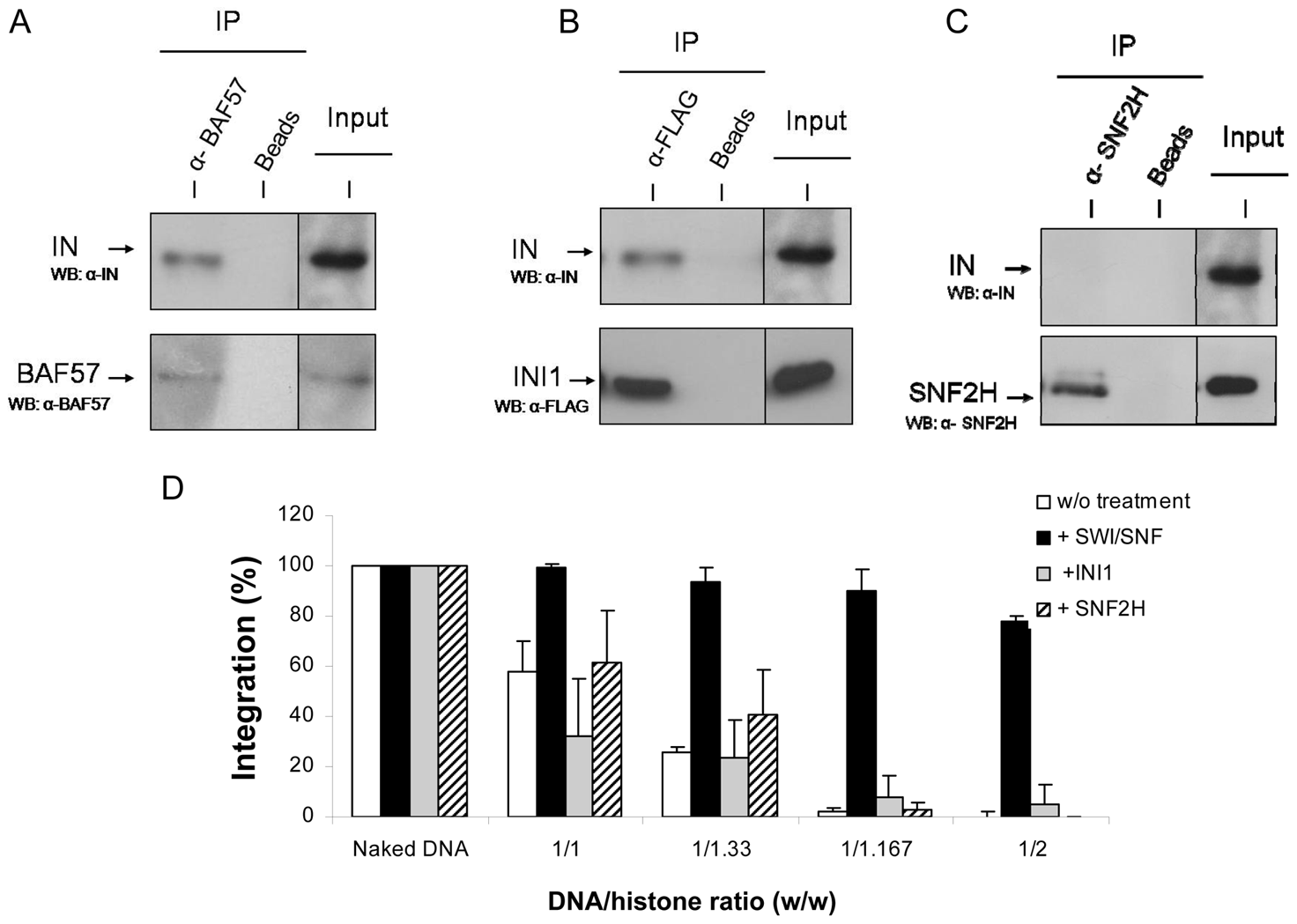 Physical and functional <i>in vitro</i> interaction between HIV-1 IN and human SWI/SNF complex, INI1 protein or SNF2h.
