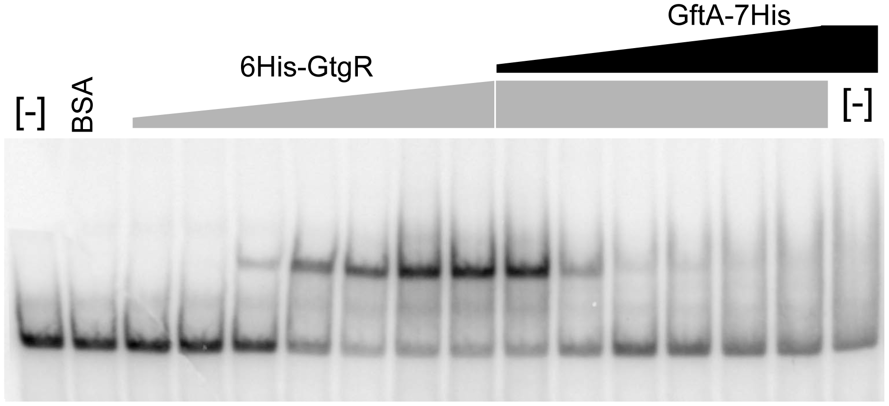 Gel-shift assay with purified GftR and GftA proteins.