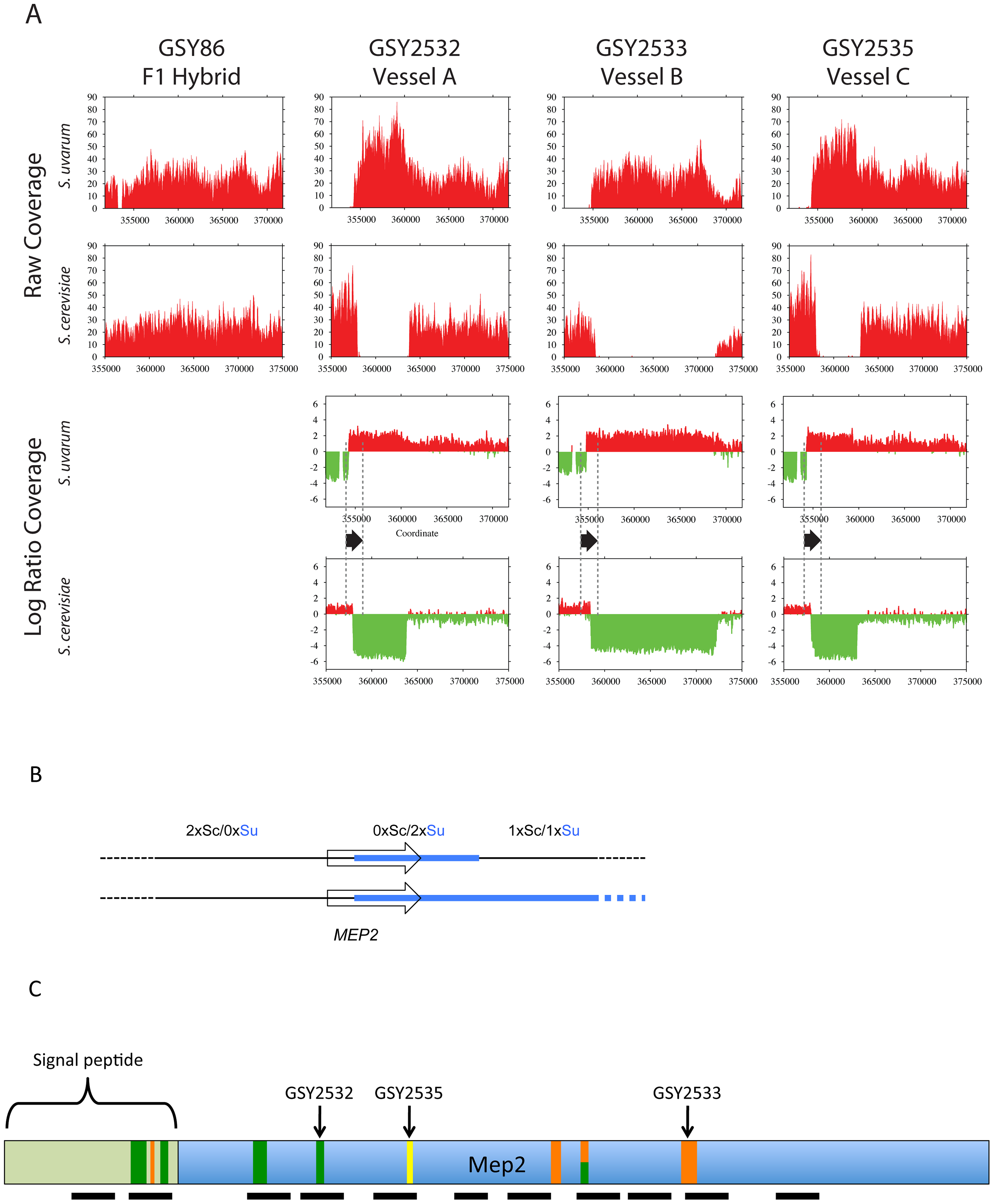 Further analysis of <i>MEP2</i> gene fusion rearrangements.
