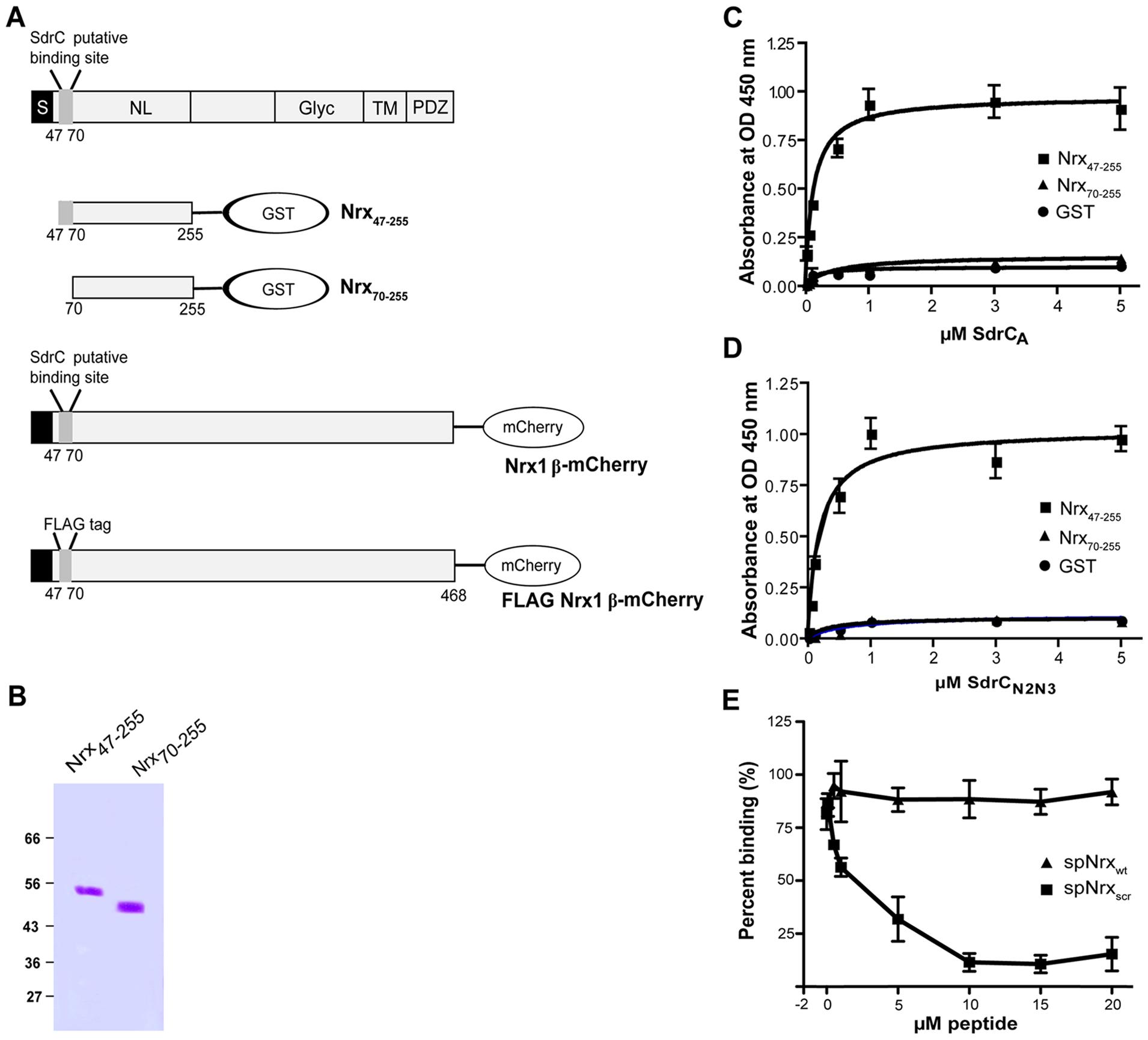 Structural organization of β-neurexins.