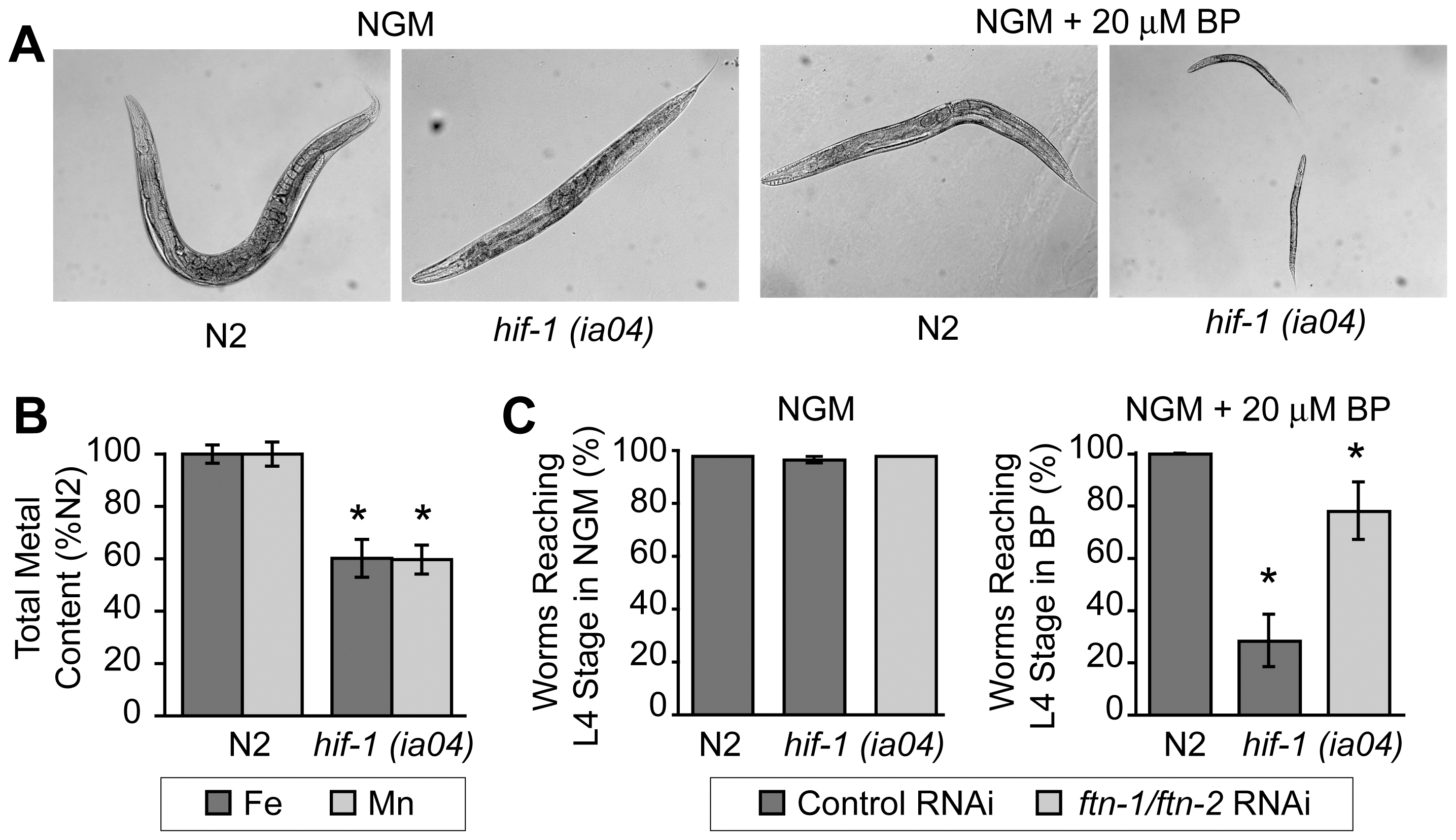 Delayed growth of <i>hif-1(ia04)</i> mutant animals during iron deficiency is rescued by <i>ftn-1</i> and <i>ftn-2</i> RNAi.