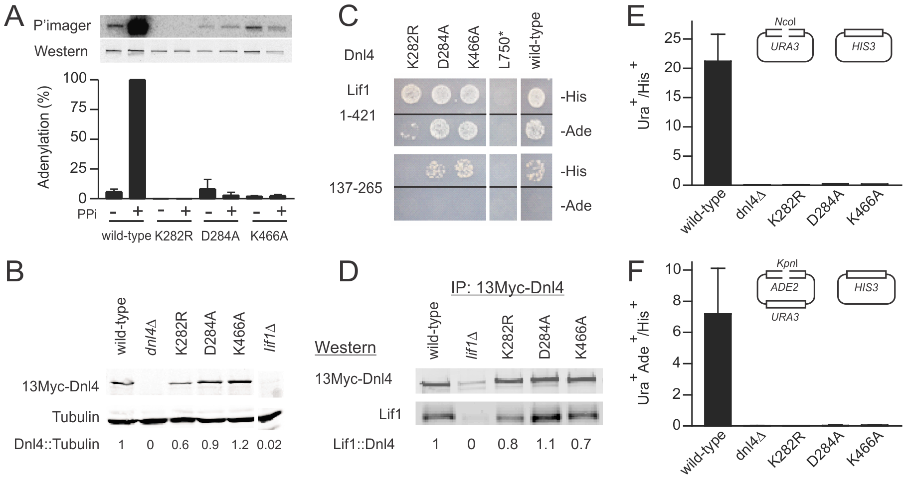 Dnl4 catalytic mutations severely impair auto-adenylation and c-NHEJ efficiency.