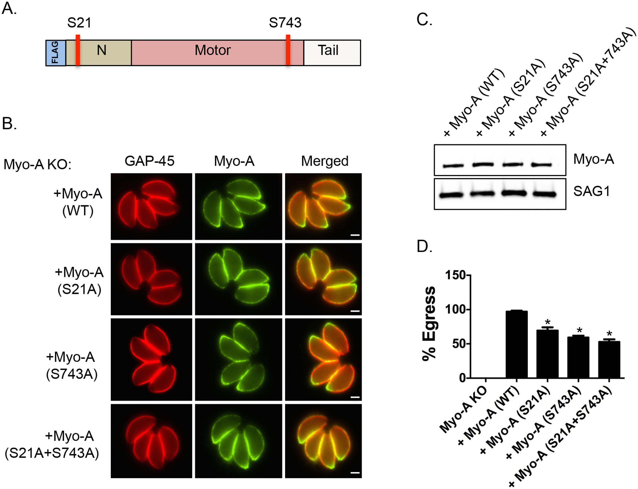 Phosphorylatable serines 21 and 743 of TgMyoA are important for iiEgress of <i>Toxoplasma</i> tachyzoites.