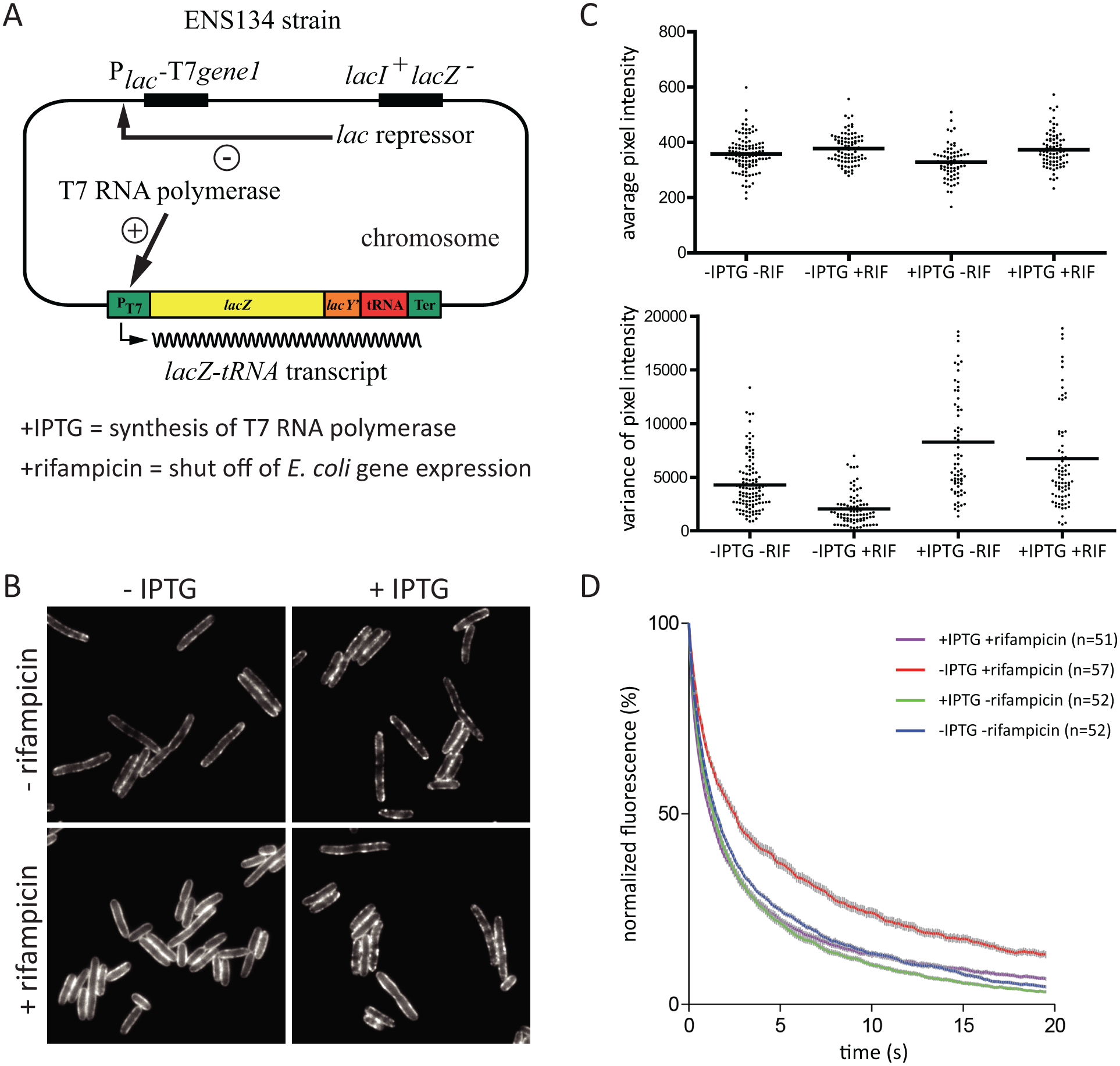 The effect rifampicin on the distribution and diffusion of RNase E is due to the absence of RNA substrate.