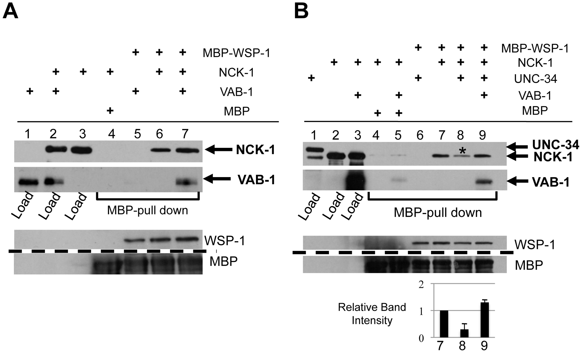VAB-1, NCK-1, and WSP-1 interact in a complex.