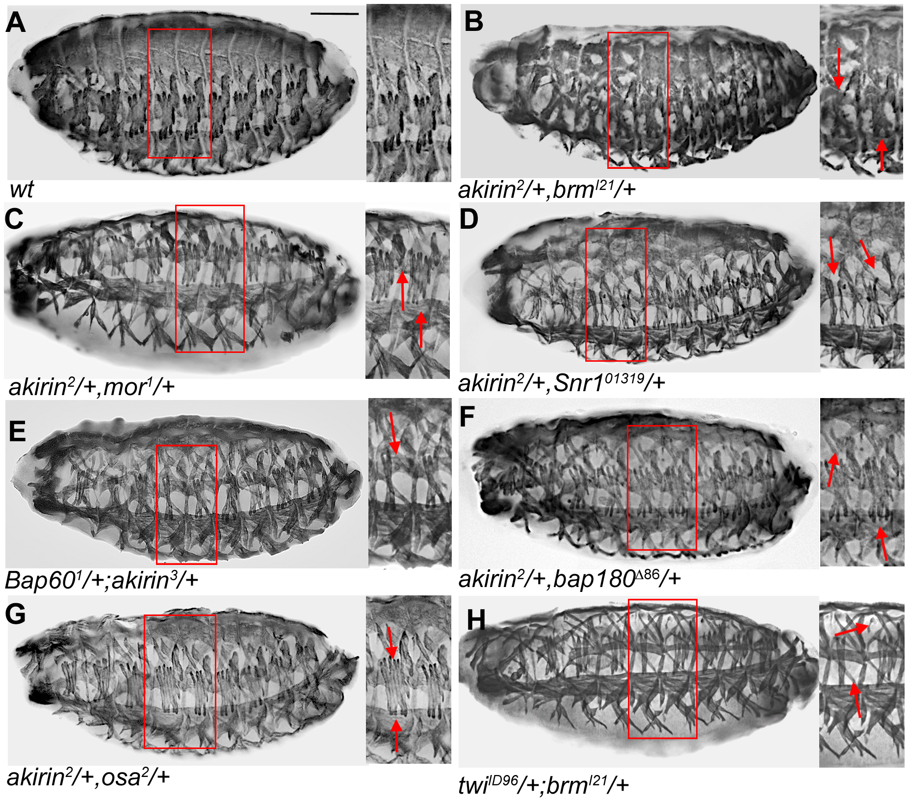 Akirin interacts genetically and physically with BAP and PBAP subunits during embryonic myogenesis.
