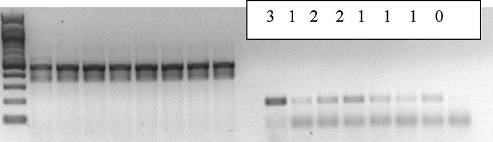 Semikvantitatívne hodnotenie vzoriek na základe expresie mRNA aromatázy na 2% gélovom agare: 0- žiadna expresia, 1- slabá expresia, 2 - stredná expresia, 3 - silná expresia