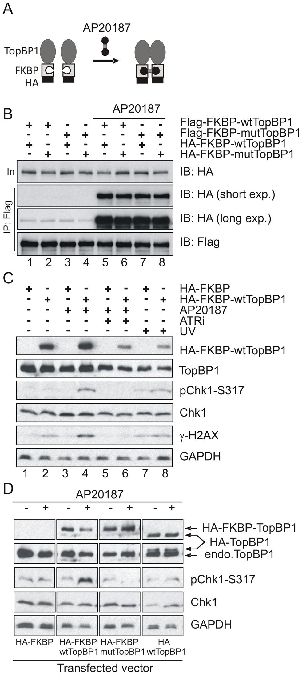 Inducible dimerization of TopBP1 activates ATR-Chk1.