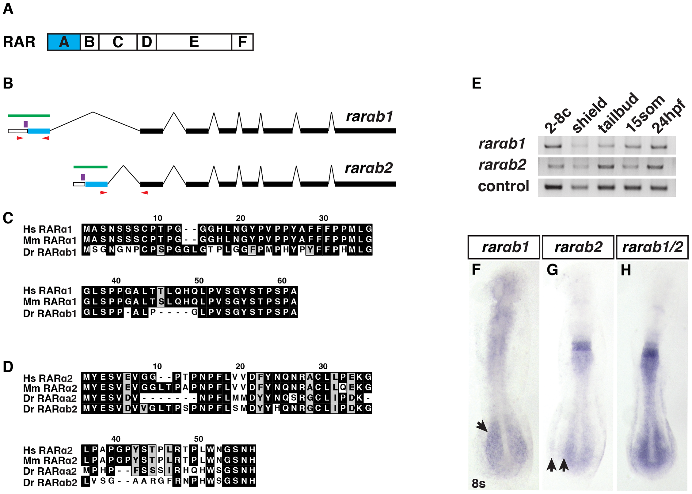RARαb1 and RARαb2 sequences and expression.