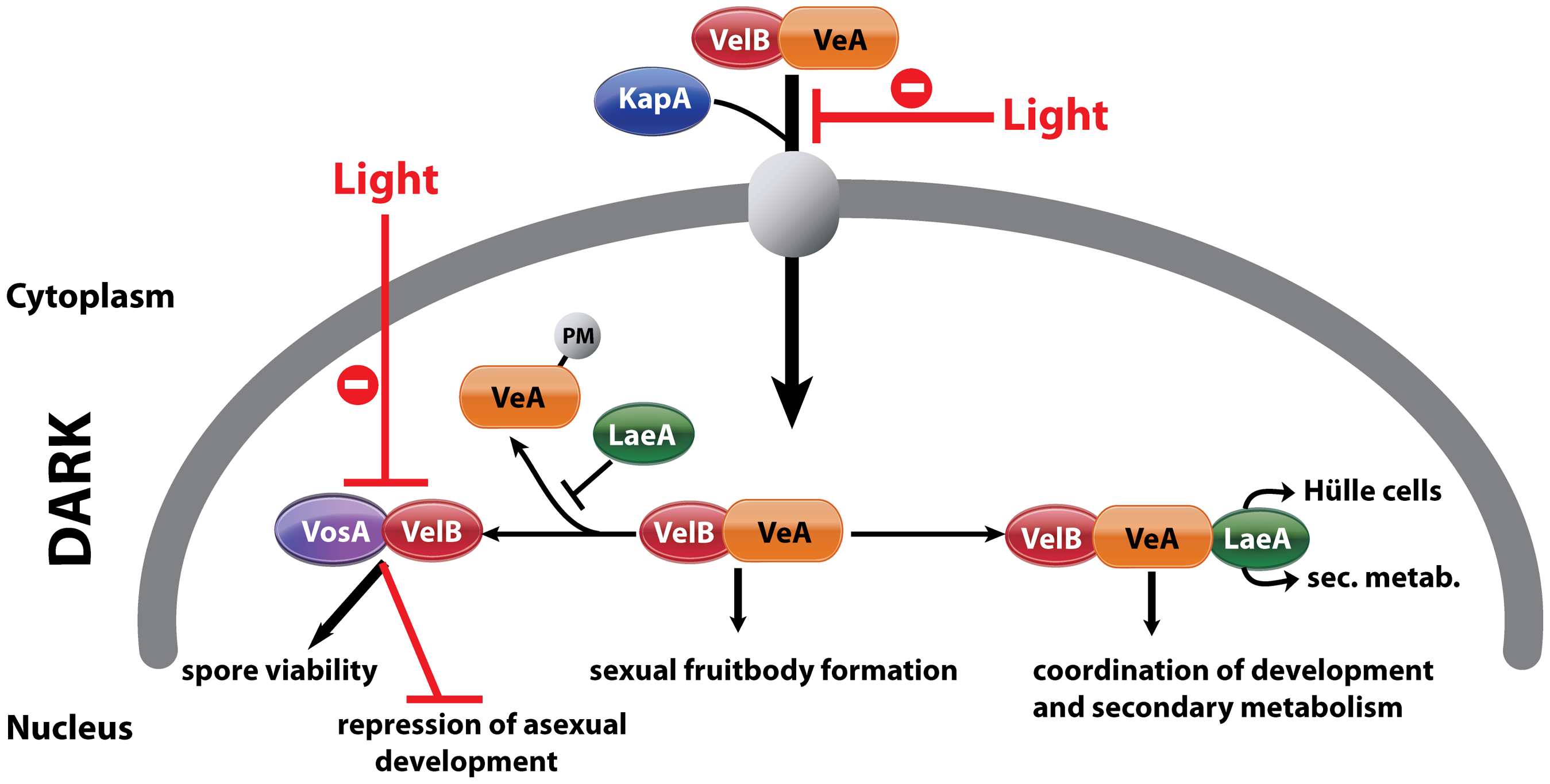 Complexes of velvet family regulatory proteins and LaeA during <i>A. nidulans</i> development.