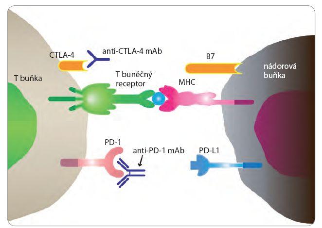 Kontrolní body imunitní reakce CTLA-4 a PD-1.