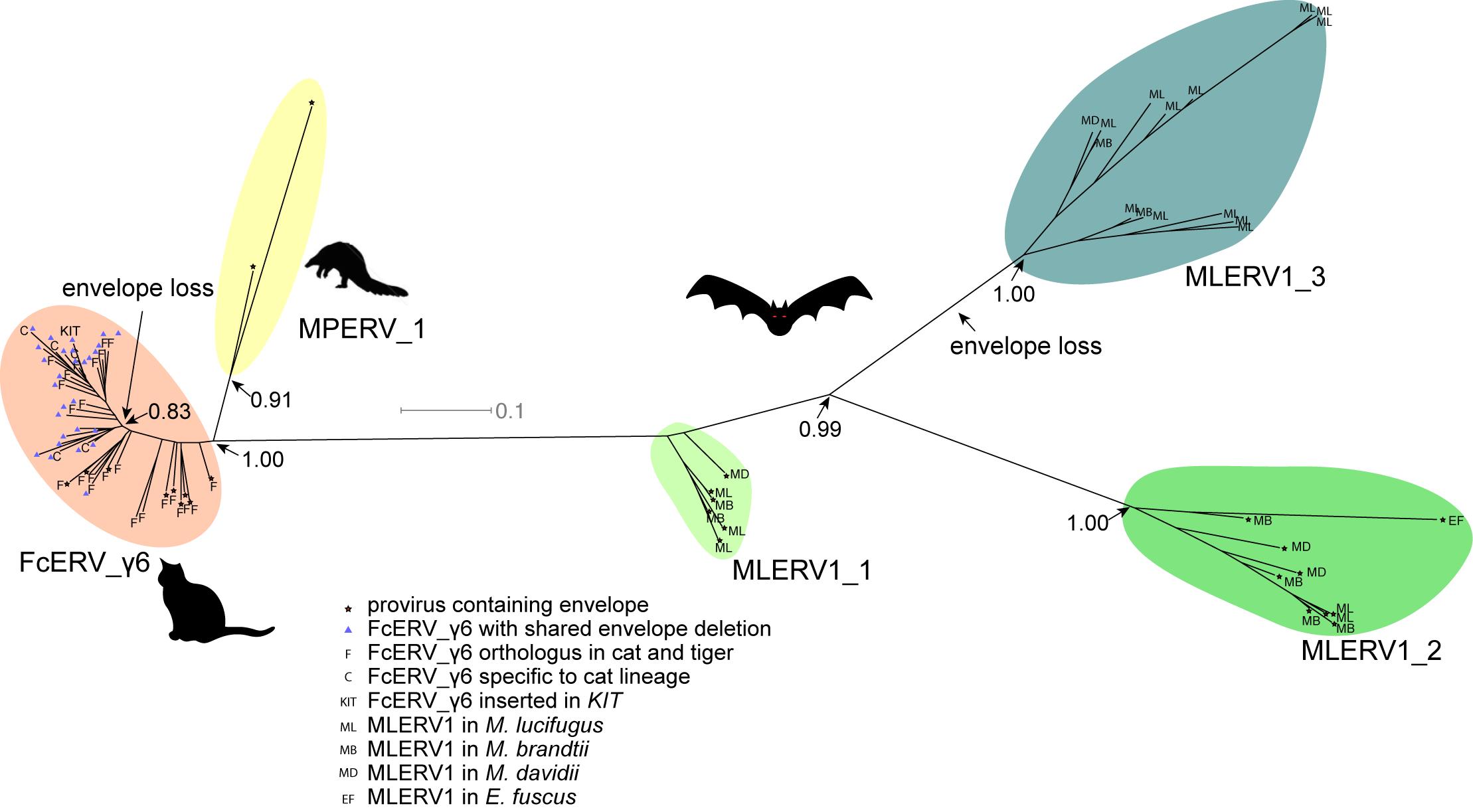 Phylogenetic analysis of MLERV1, FcERV_γ6, MPERV1 families.