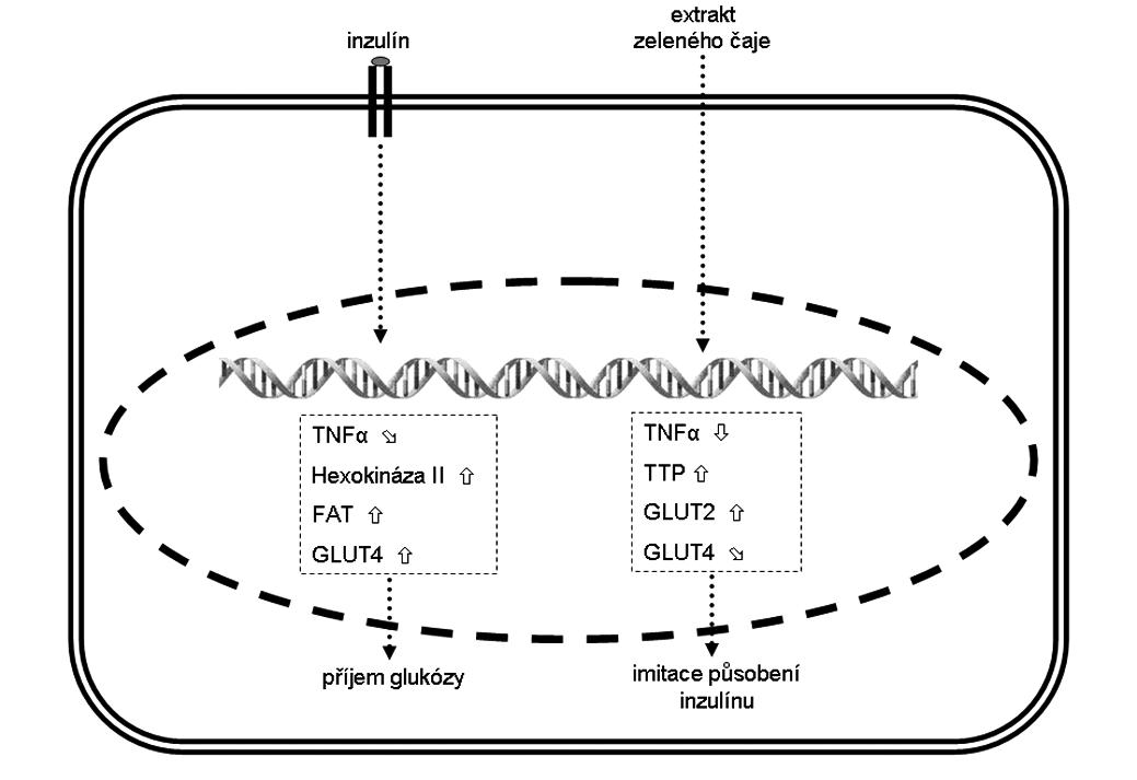 Změna exprese vybraných genů ve svalových myocytech a jejich (pato)fyziologický efekt Šipka  značí zvýšenou expresi, šipka  sníženou expresi a šipka  mírně sníženou expresi. FAT – transportér mastných kyselin,  GLUT – glukózový transportér z rodiny SLC2A,  TNF-α – tumor necrosis factor α, TTP – tristetraprolin