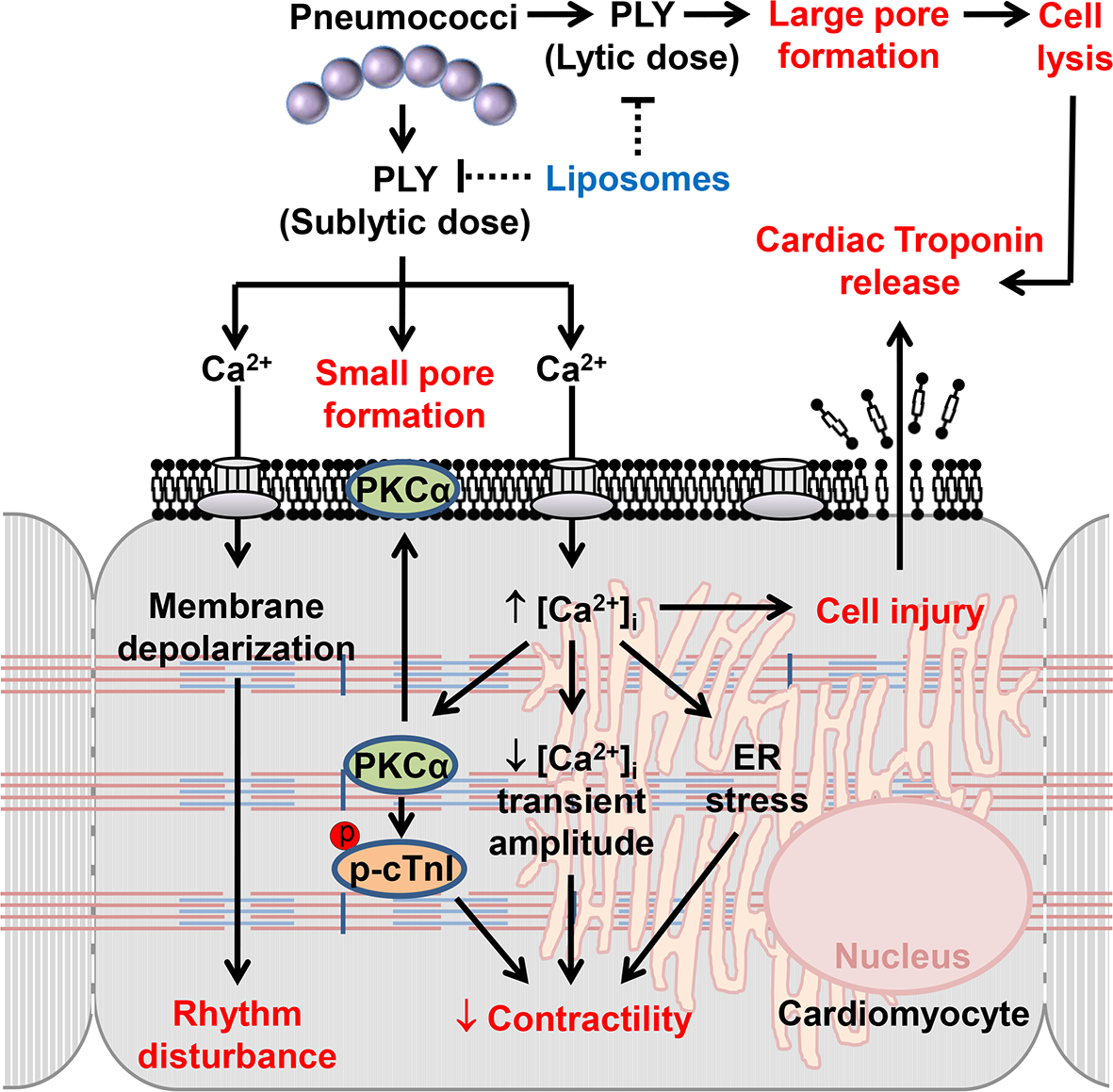 The mechanisms and effects of PLY on cardiomyocytes.