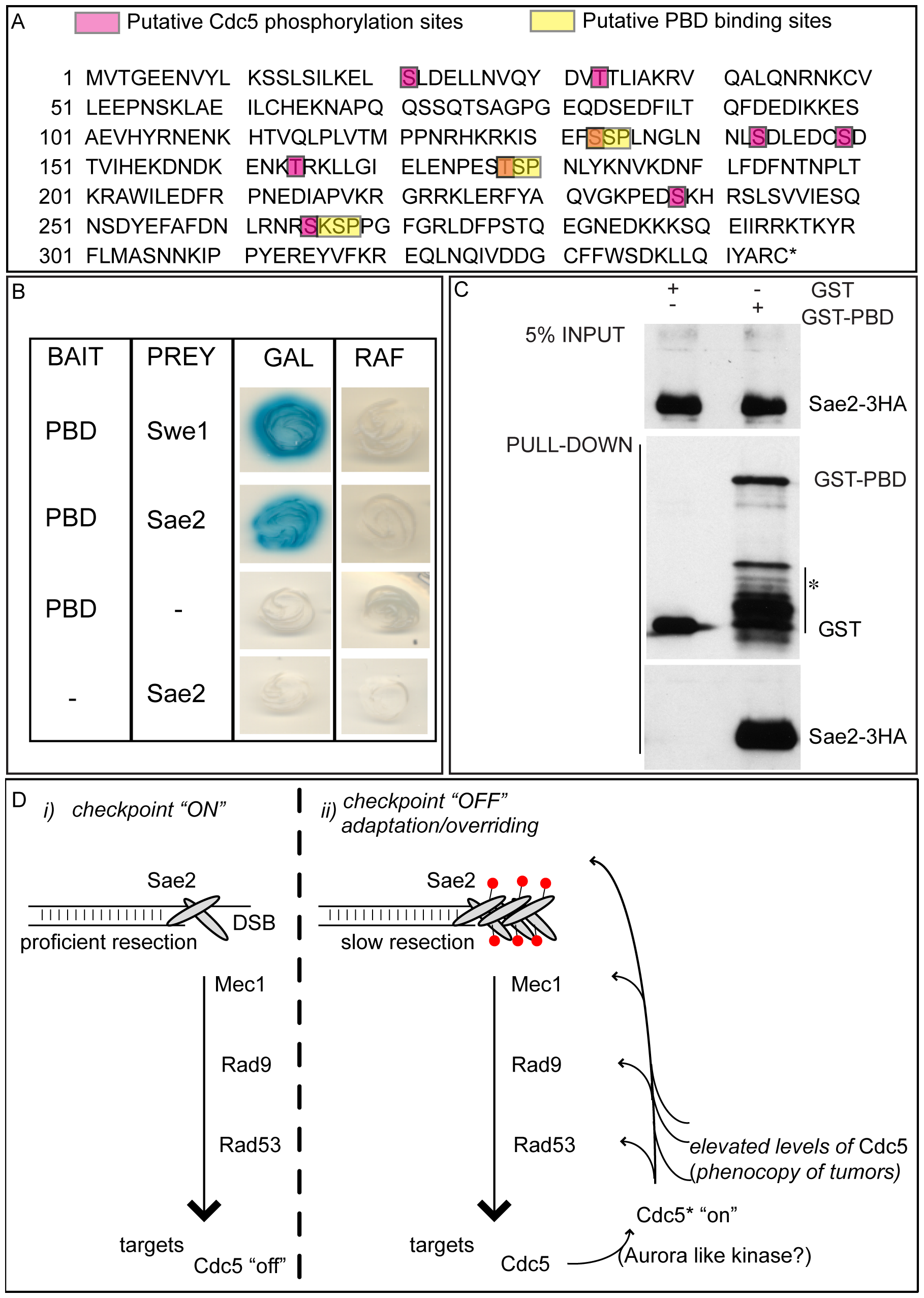 Sae2 protein interacts with PBD of Cdc5.