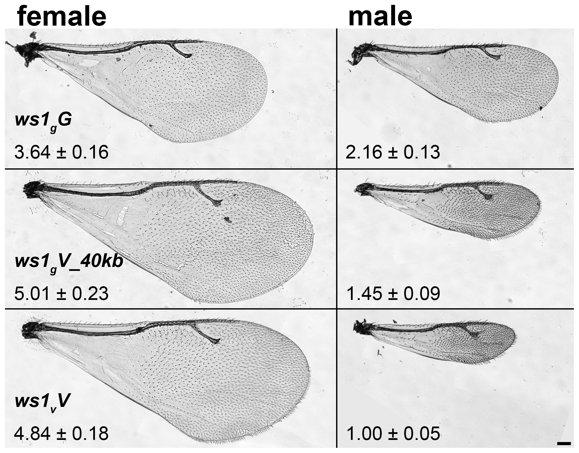 Wing size differences due to <i>ws1.</i>