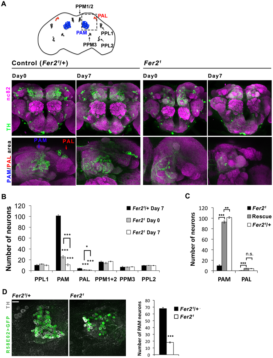Selective loss of PAM and PAL cluster DA neurons in the <i>Fer2</i> extreme hypomorphic mutants.