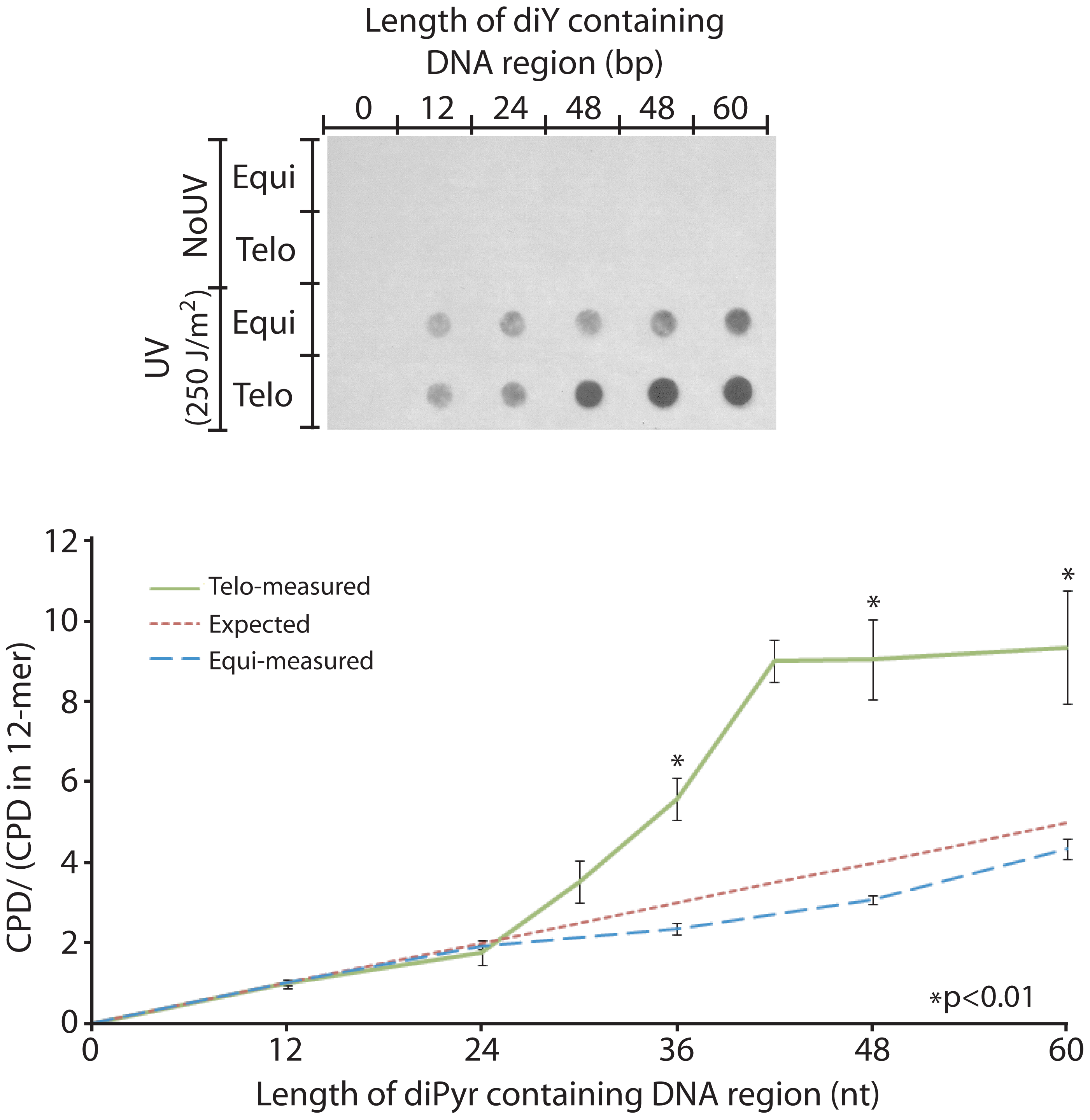 The telomeric sequence acquires UV sensitivity above 4 repeats.