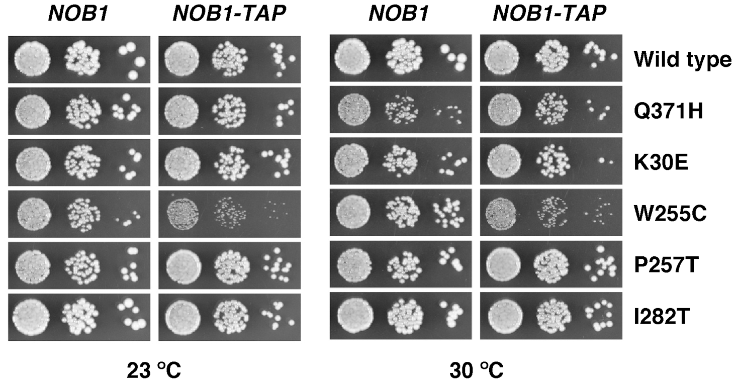 Synthetic enhancement of the slow-growth phenotype of the <i>rpl3</i>[W255C] mutant by the <i>NOB1</i>-TAP allele.