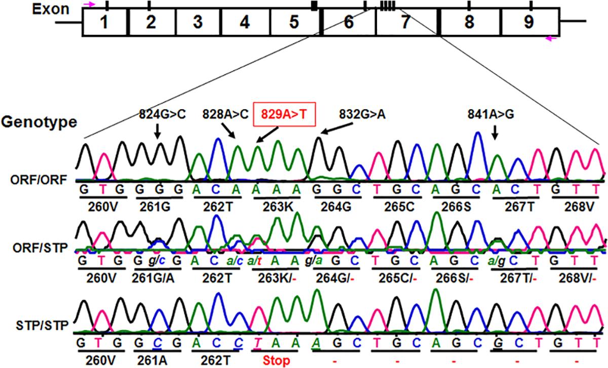 Identification of novel <i>CD177</i> coding SNPs and SNP haplotypes.