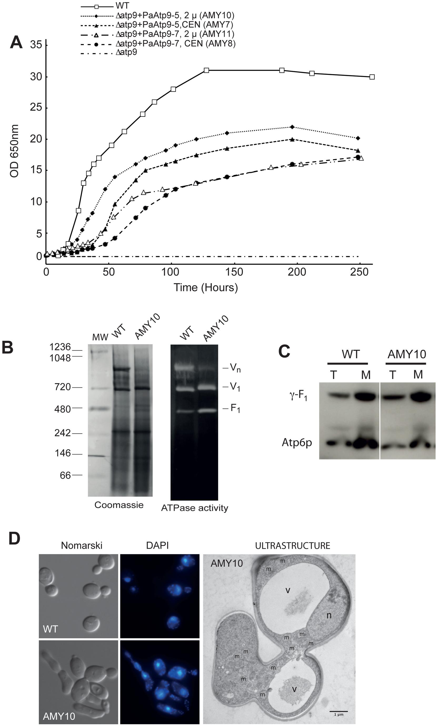 The <i>P. anserina Atp9</i> genes restore respiratory competence in <i>Δatp9</i> yeast.